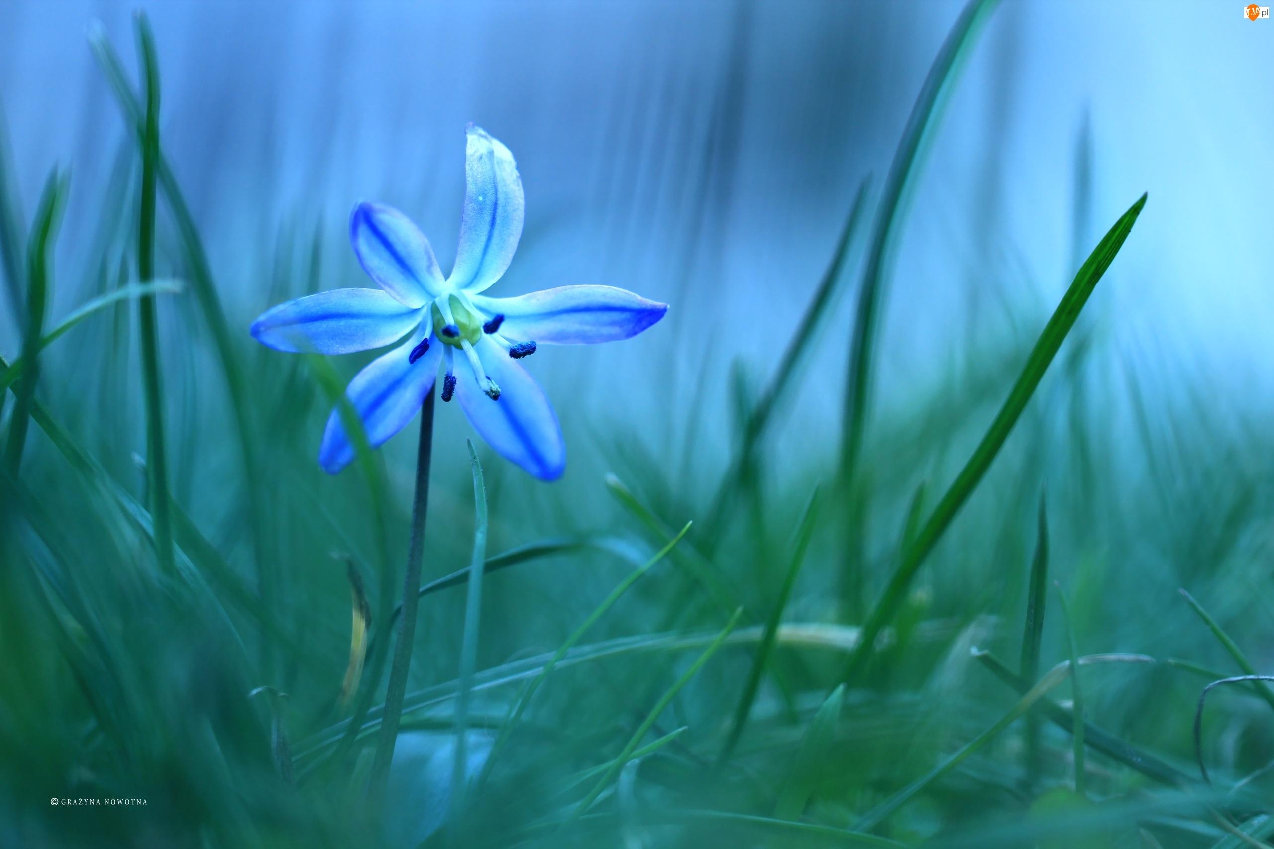 Kwiat, Cebulica Syberyjska, Niebieski