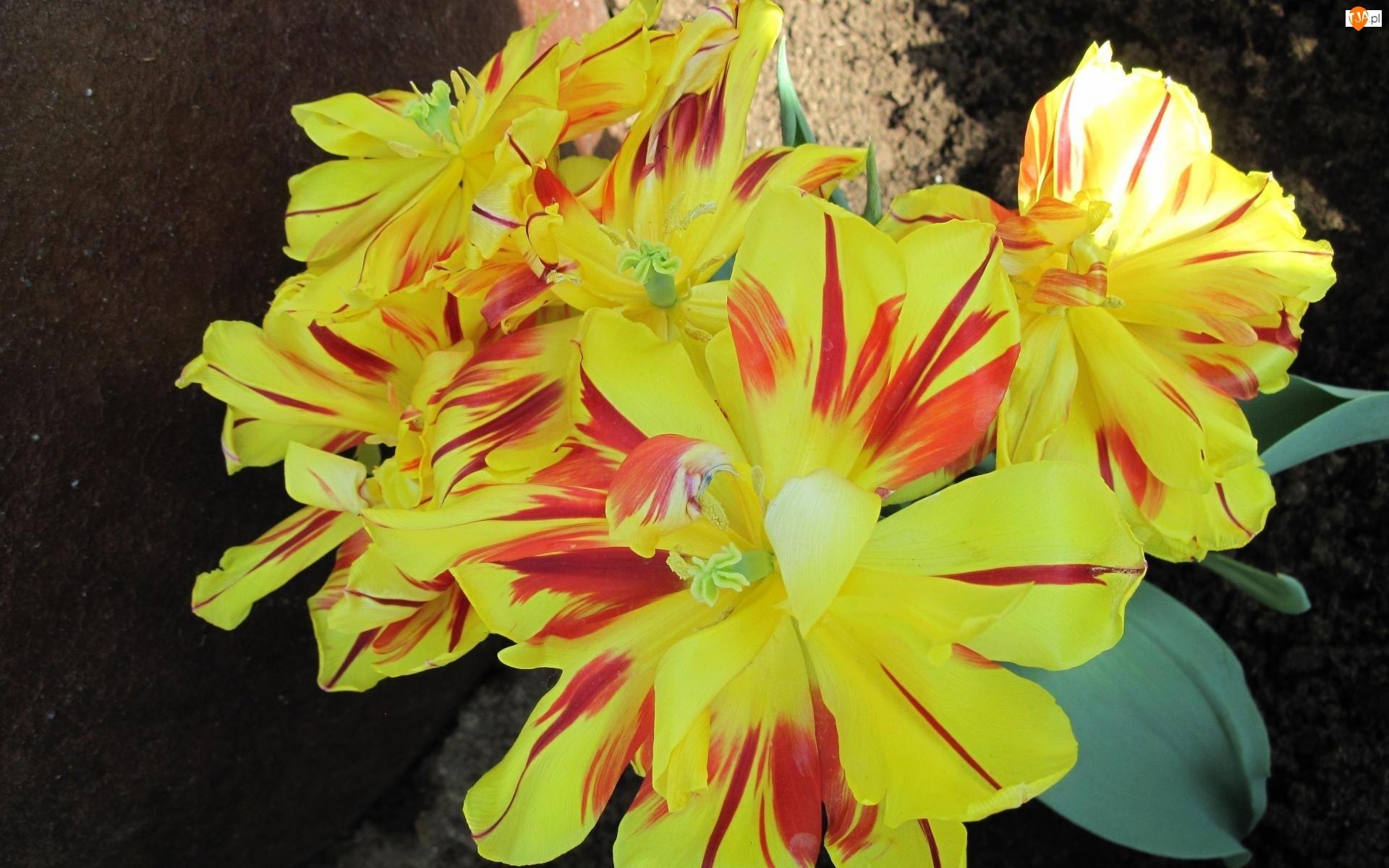 Bukiet, Tulipanów, Żólto, Czerwonych