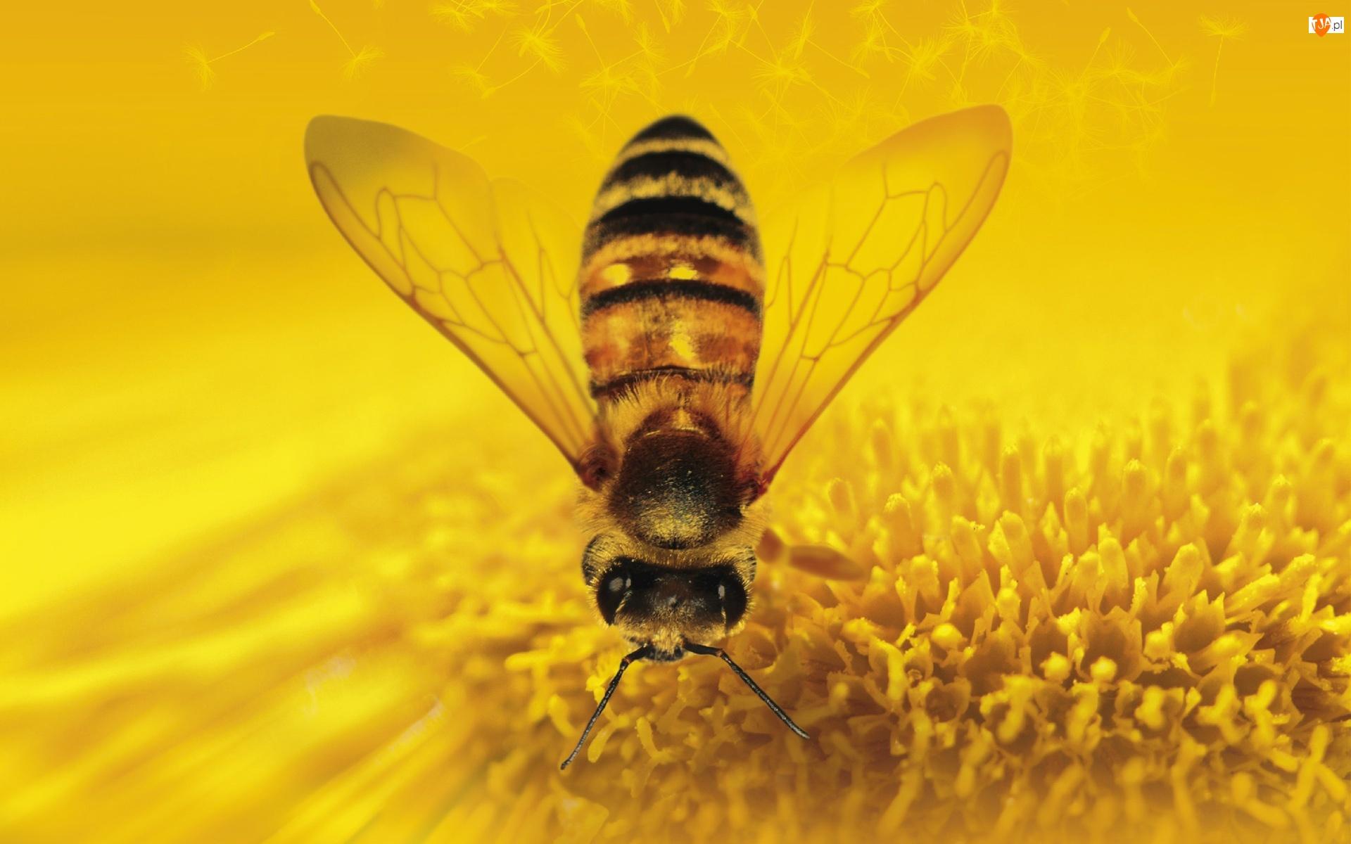 Makro, Pszczoła, Owad