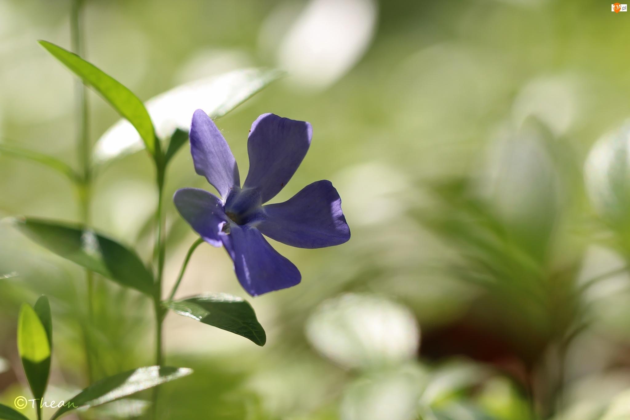 Kwiat, Barwinek, Niebieski
