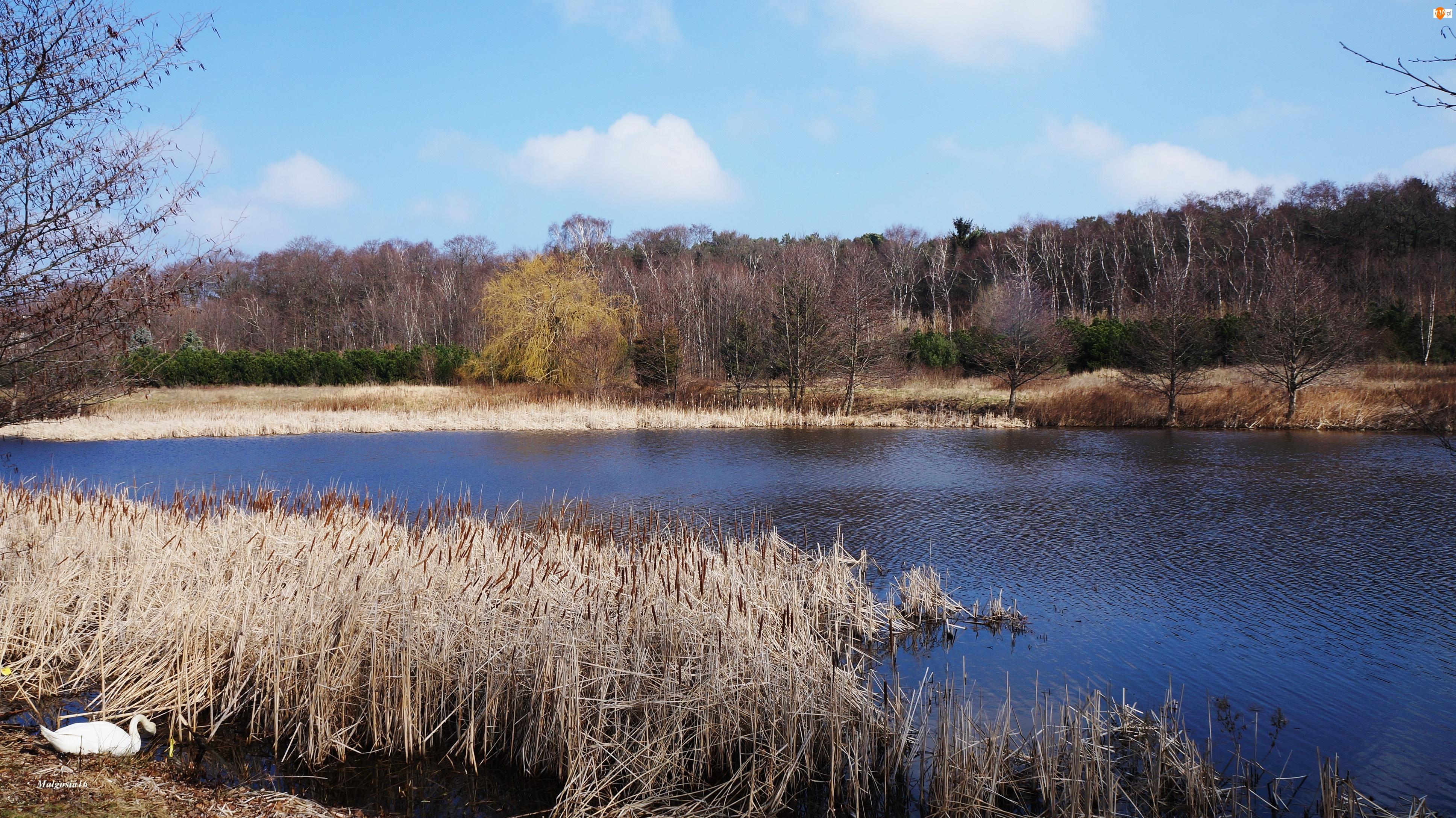 Łabędź, Jezioro, Trzcina