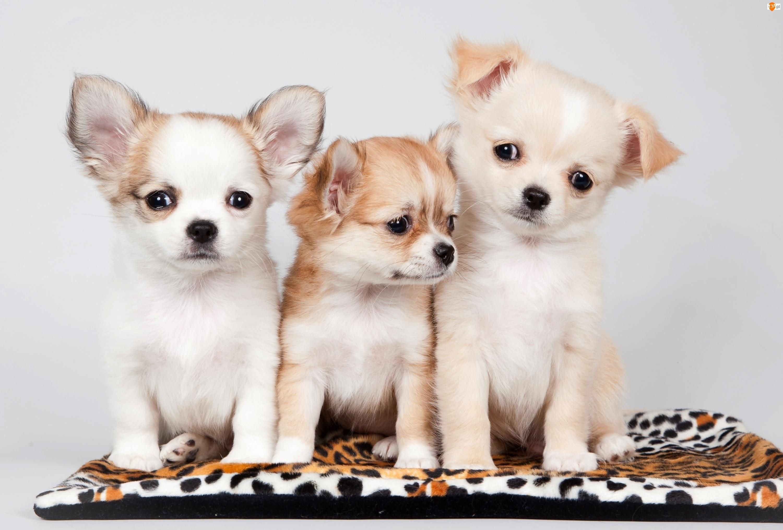 Trzy, Chihuahua, Słodkie, Szczeniaczki