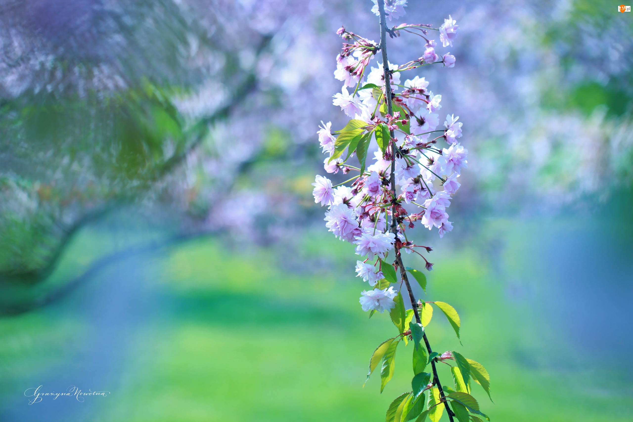 Wiśnia, Gałązka, Drzewo, Owocowe