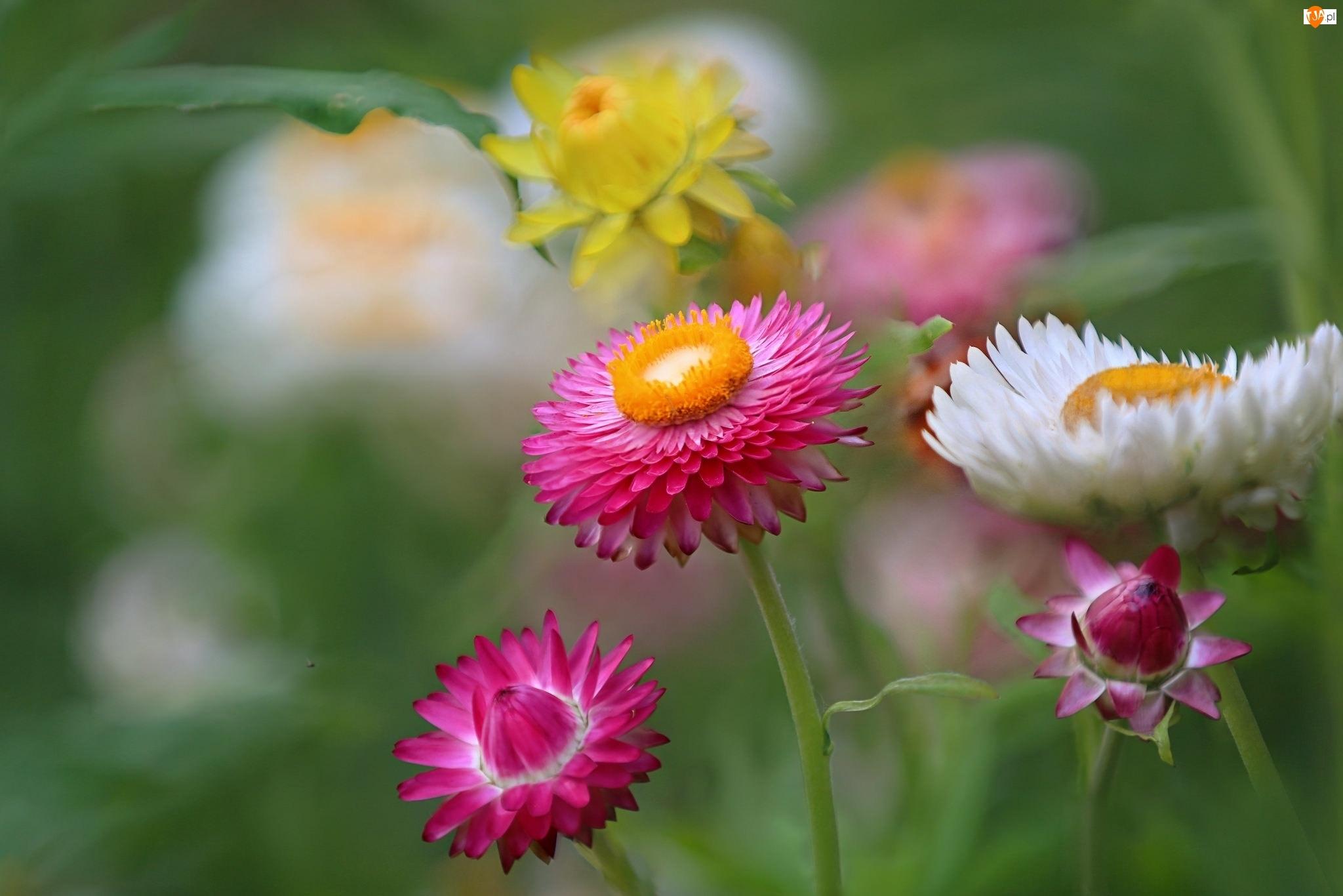 Kwiaty, Suchołuska, Kocanka Ogrodowa