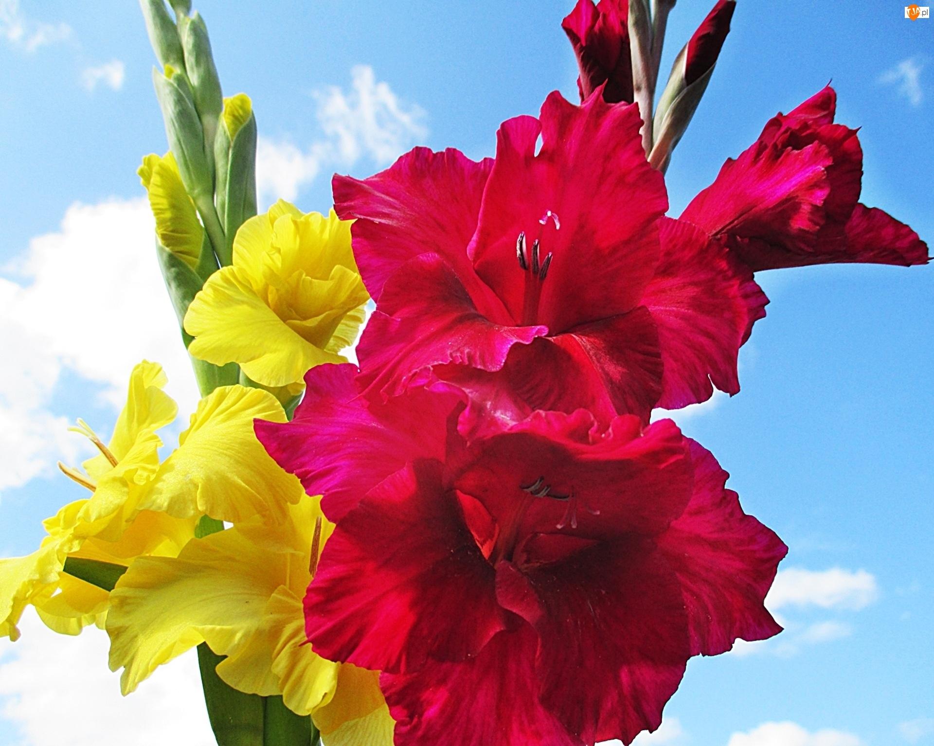 Żółty, Niebo, Mieczyk, Chmury, Kwiat, Czerwony