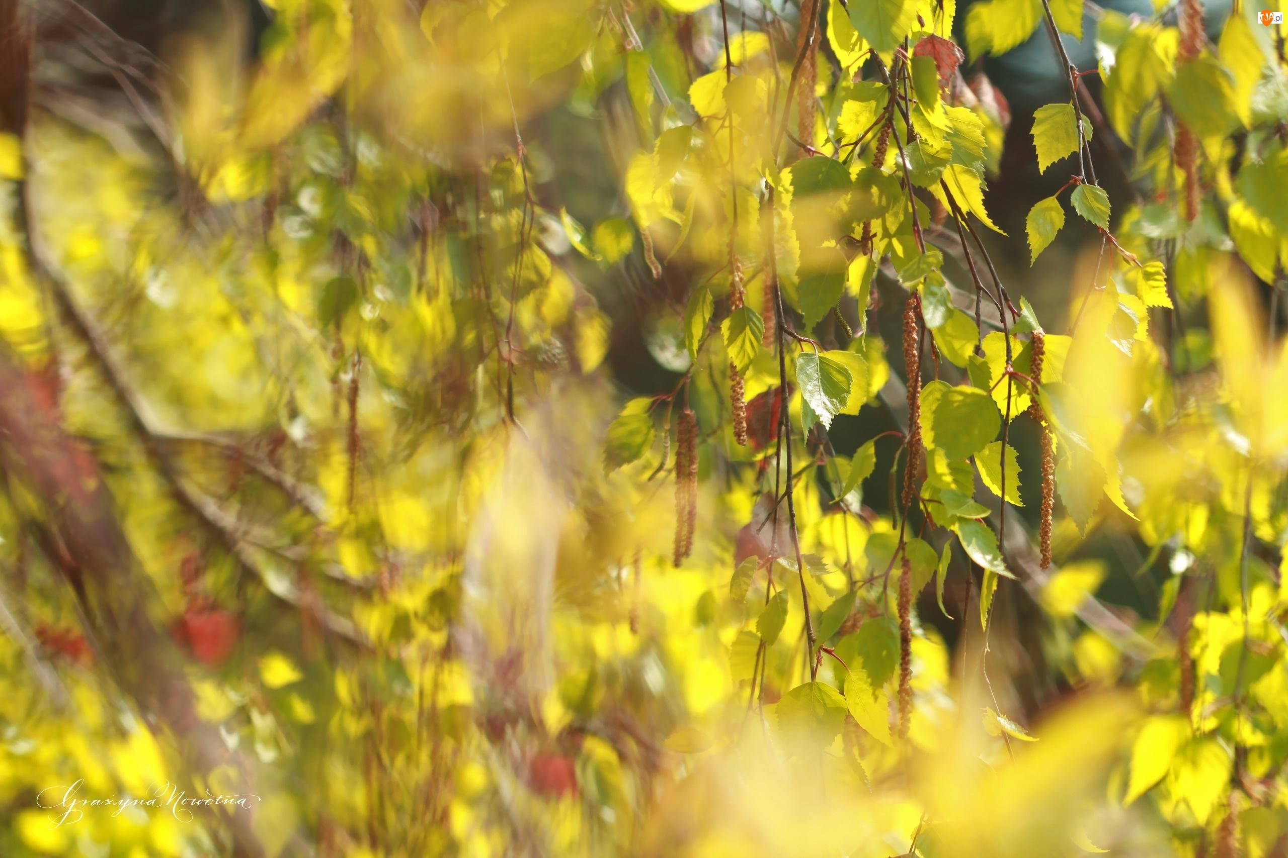 Gałązki, Brzoza, Drzewo