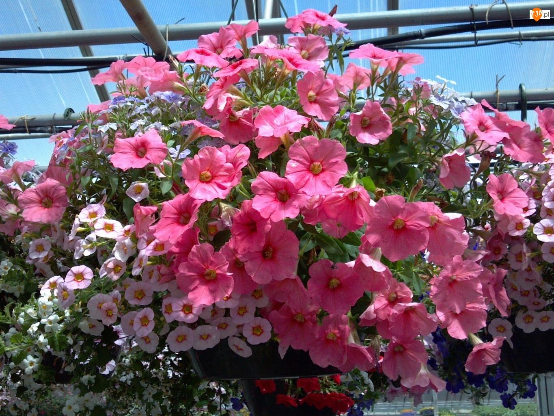 Surfinie, Kwiaty, Różowe