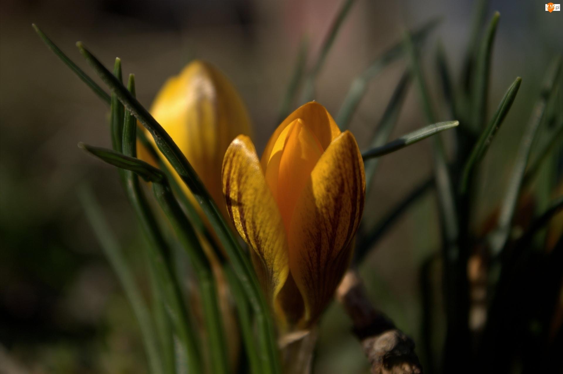 Kwiat, Krokus, Żółty