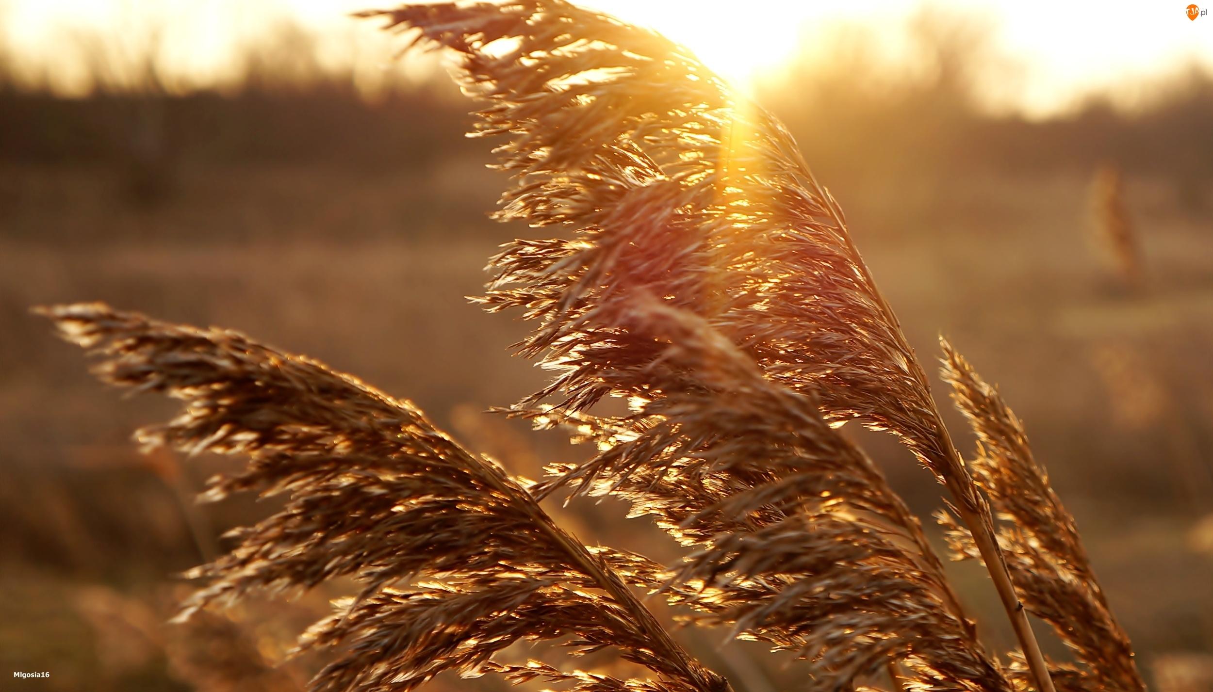 Przebijające Światło, Wschód Słońca, Trzcina