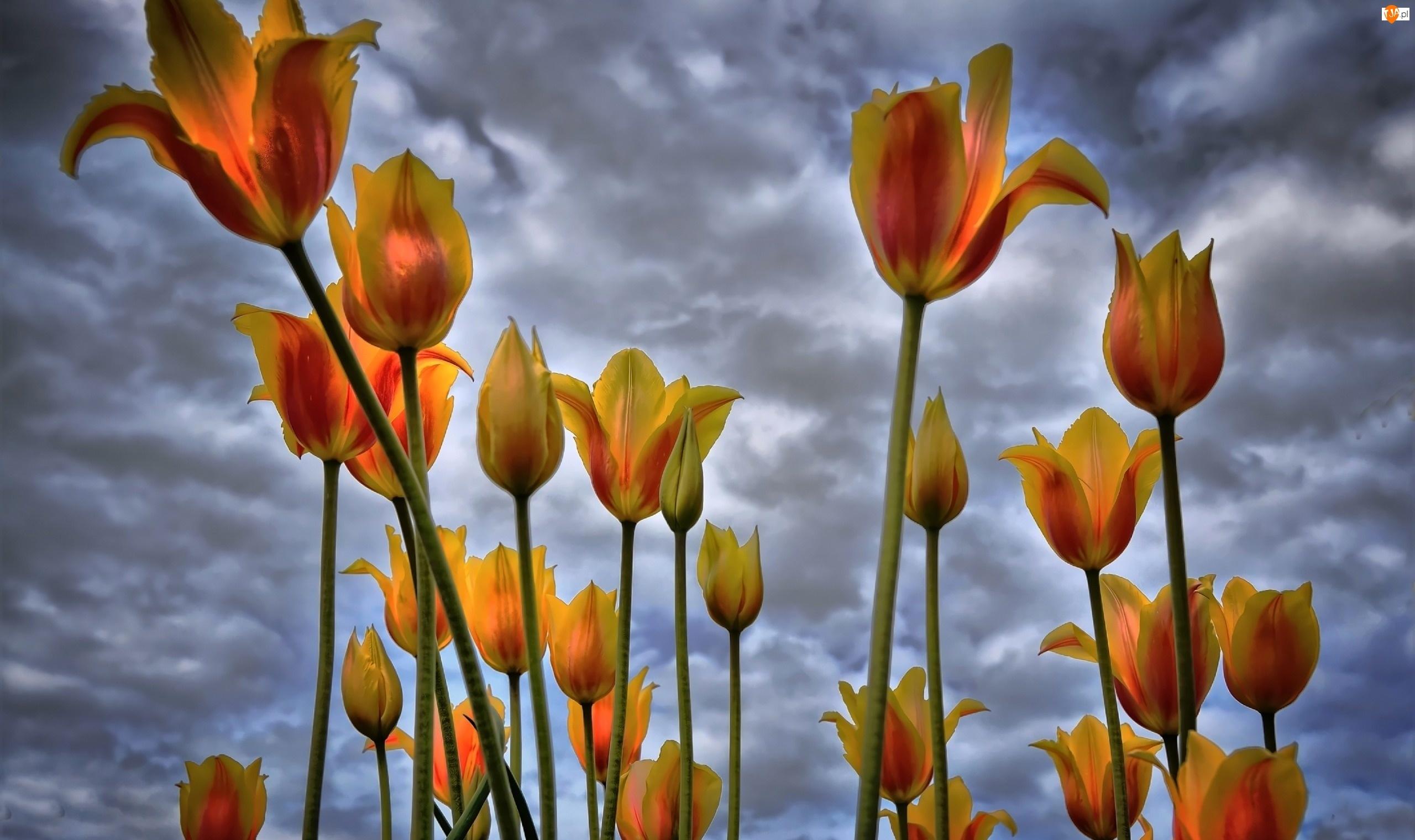 Chmury, Tulipany, Niebo