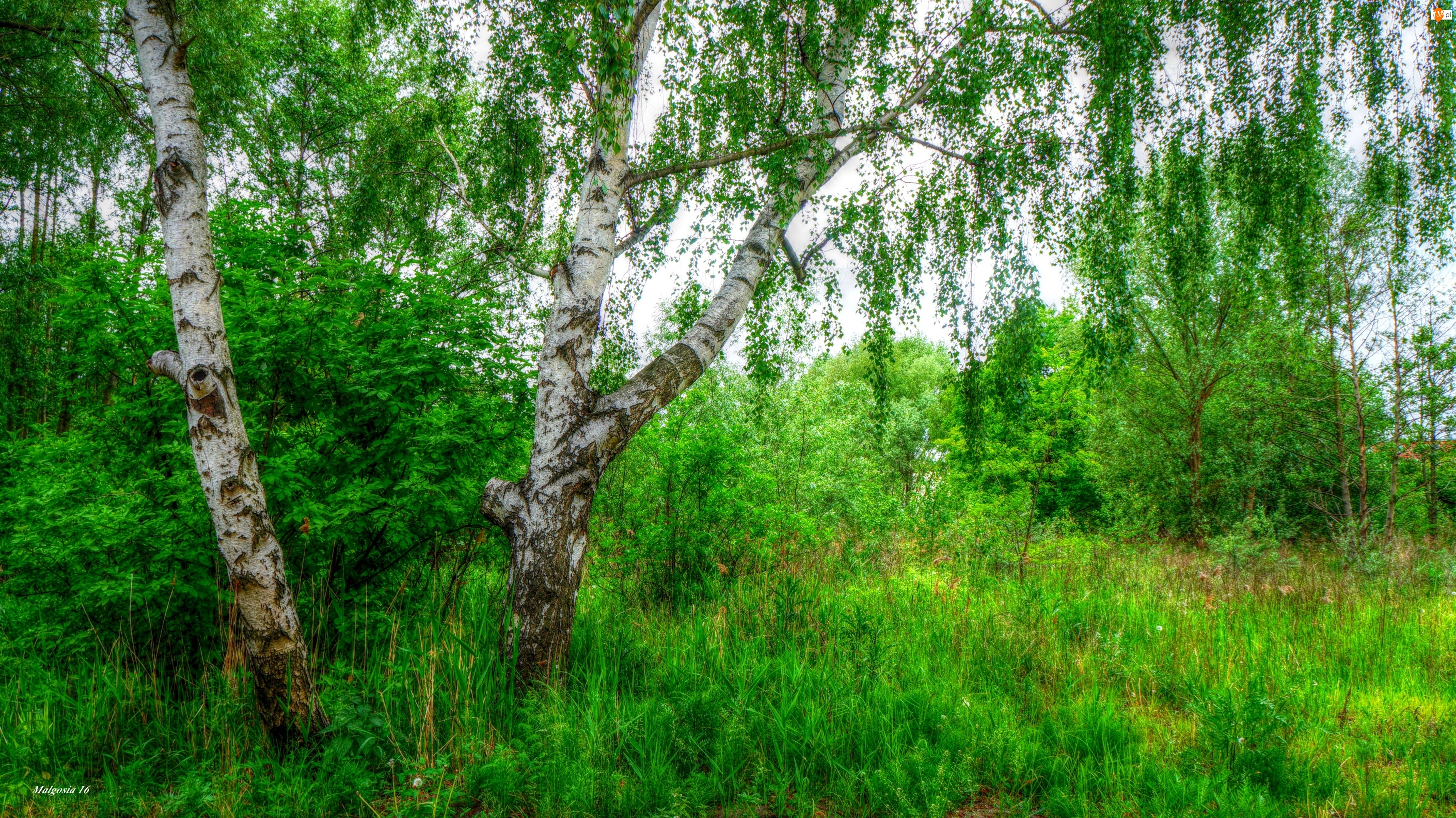 HDR, Las, Brzoza, Drzewa, Zieleń