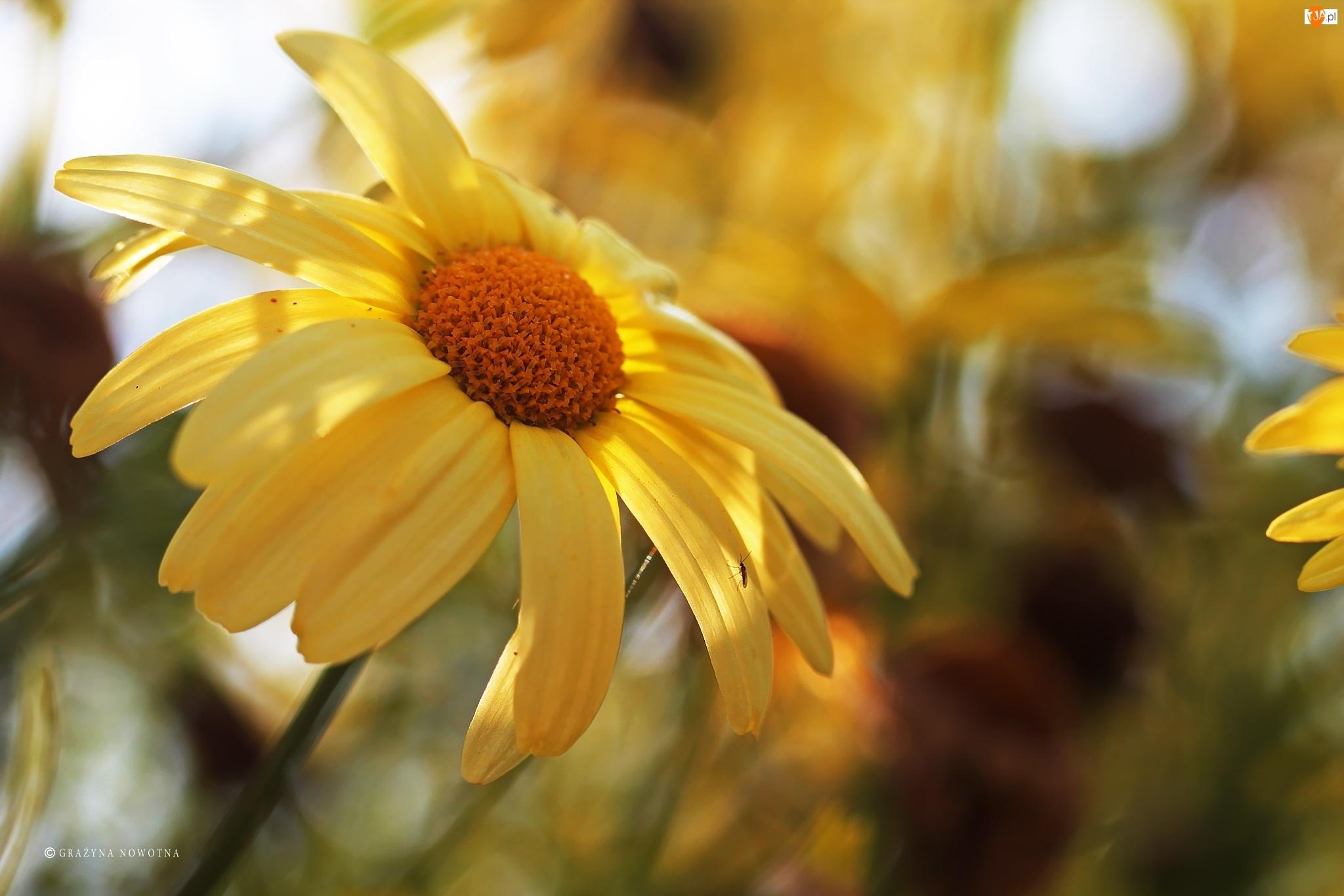 Kwiaty, Żółte, Margerytki