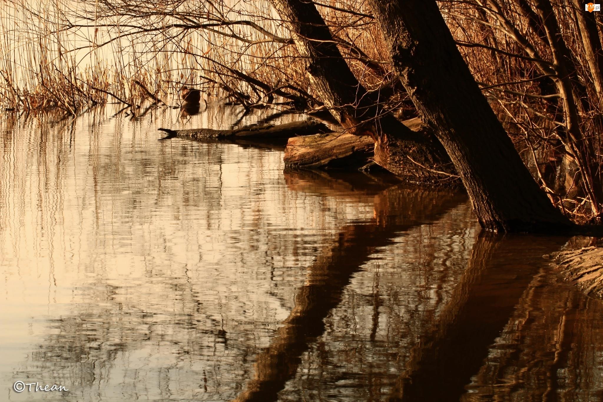 Jezioro, Trzcina, Brzeg, Drzewa