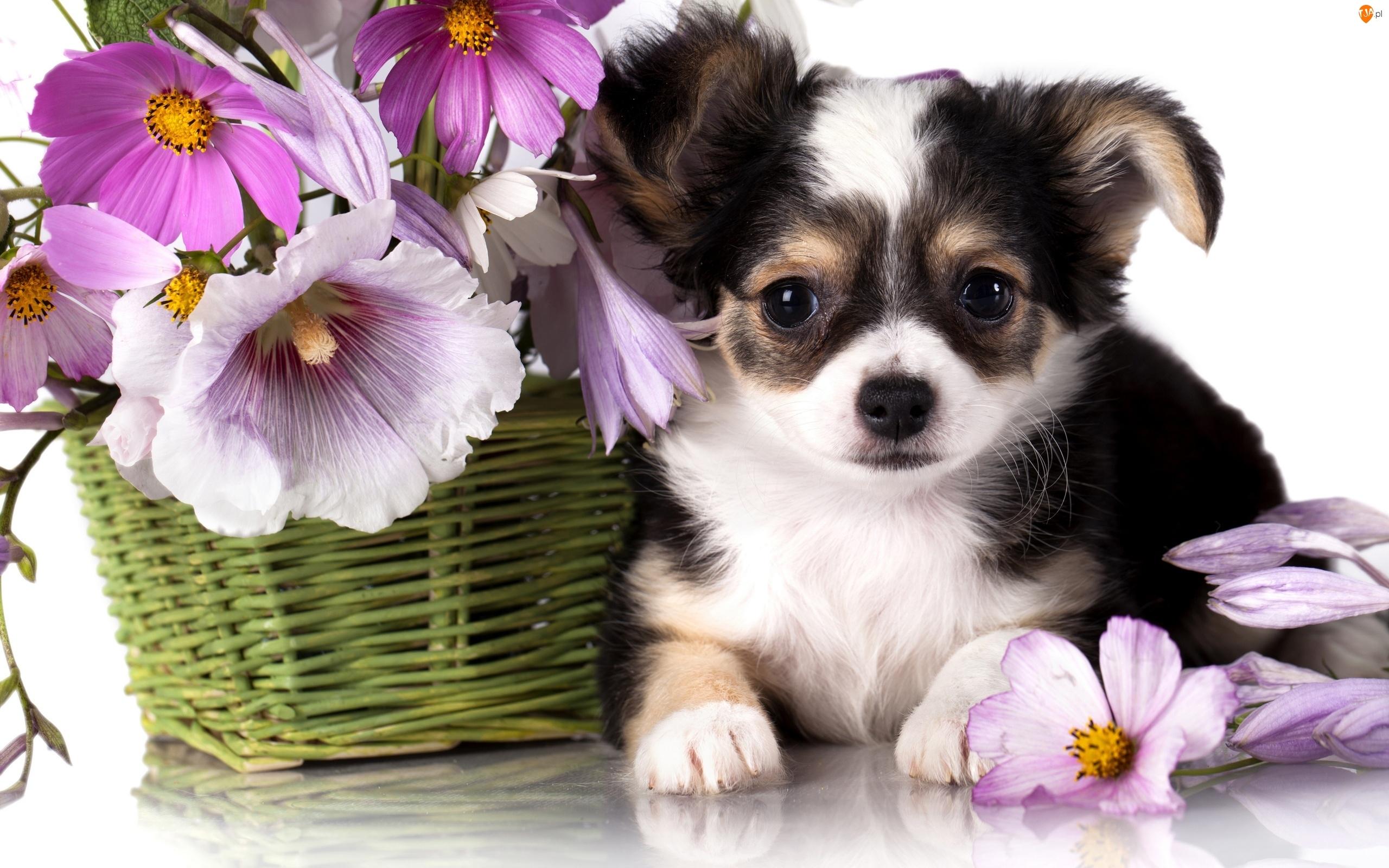 Chihuahua, Kwiatki, Szczeniak, Kosz