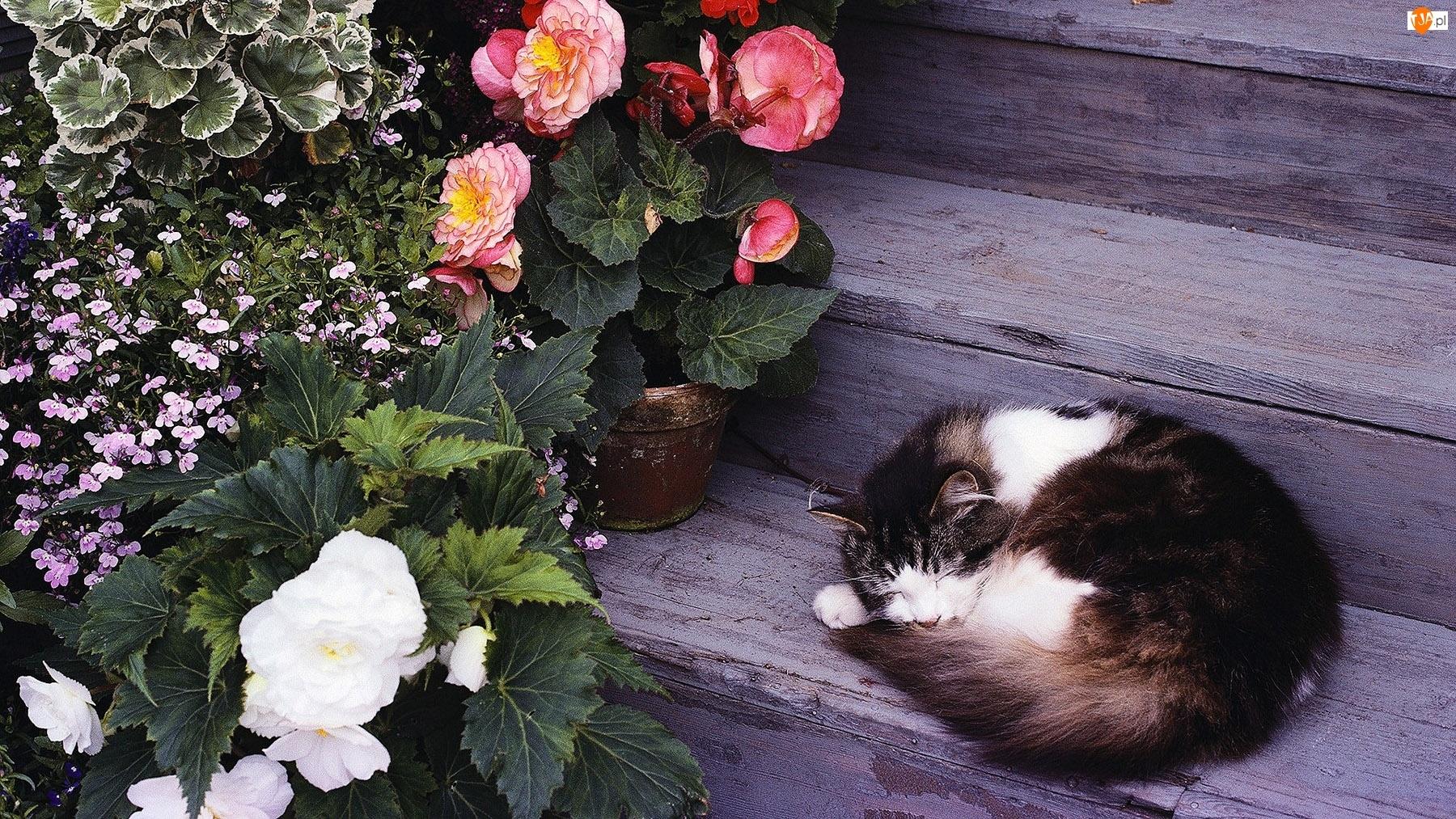 Begonia, Śpiący, Schody, Kot, Kwiaty