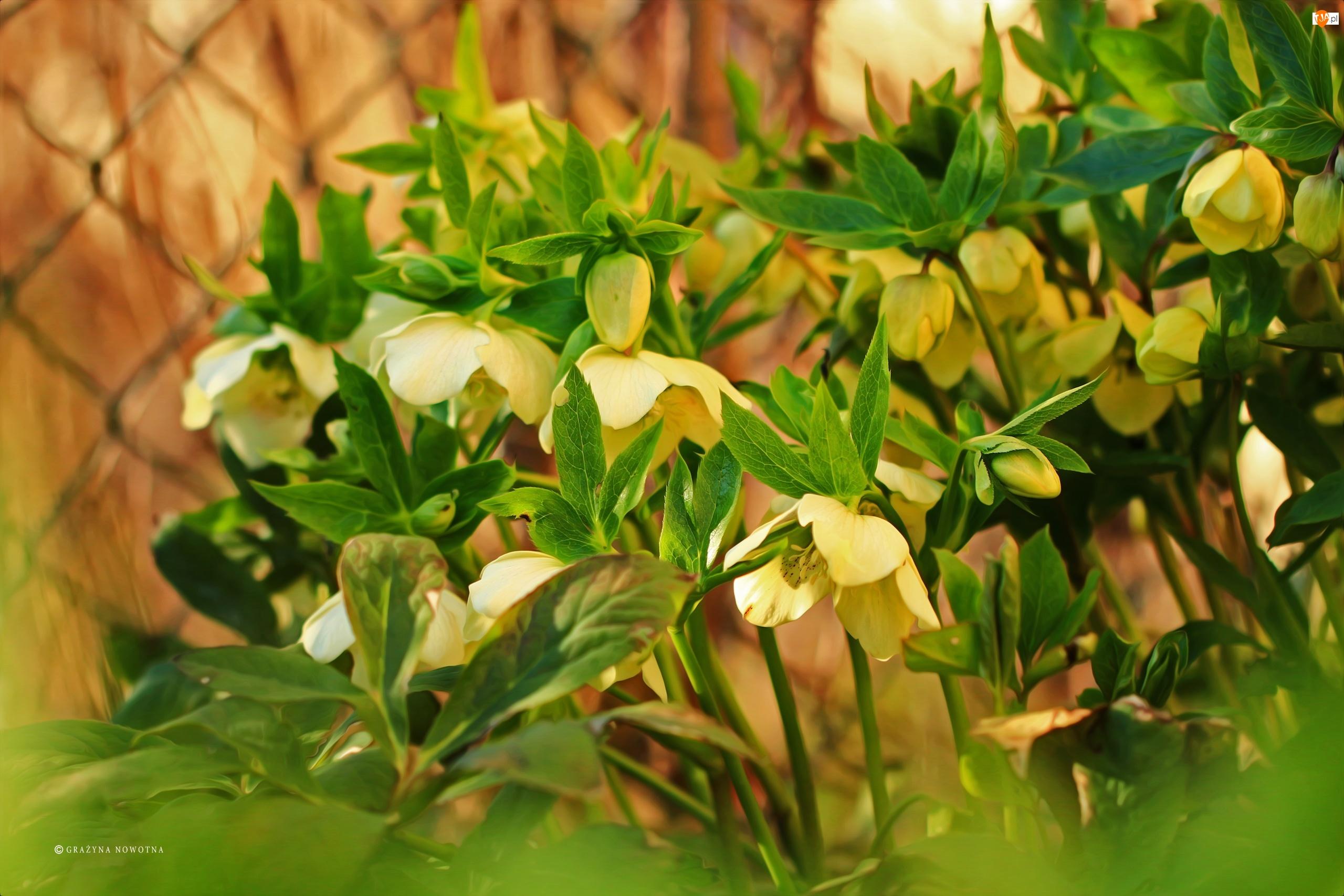 Kwiaty, Żółte, Ciemierniki