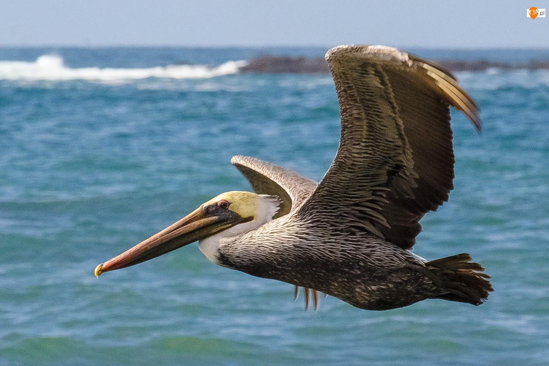 Pelikan, Woda, W, Locie