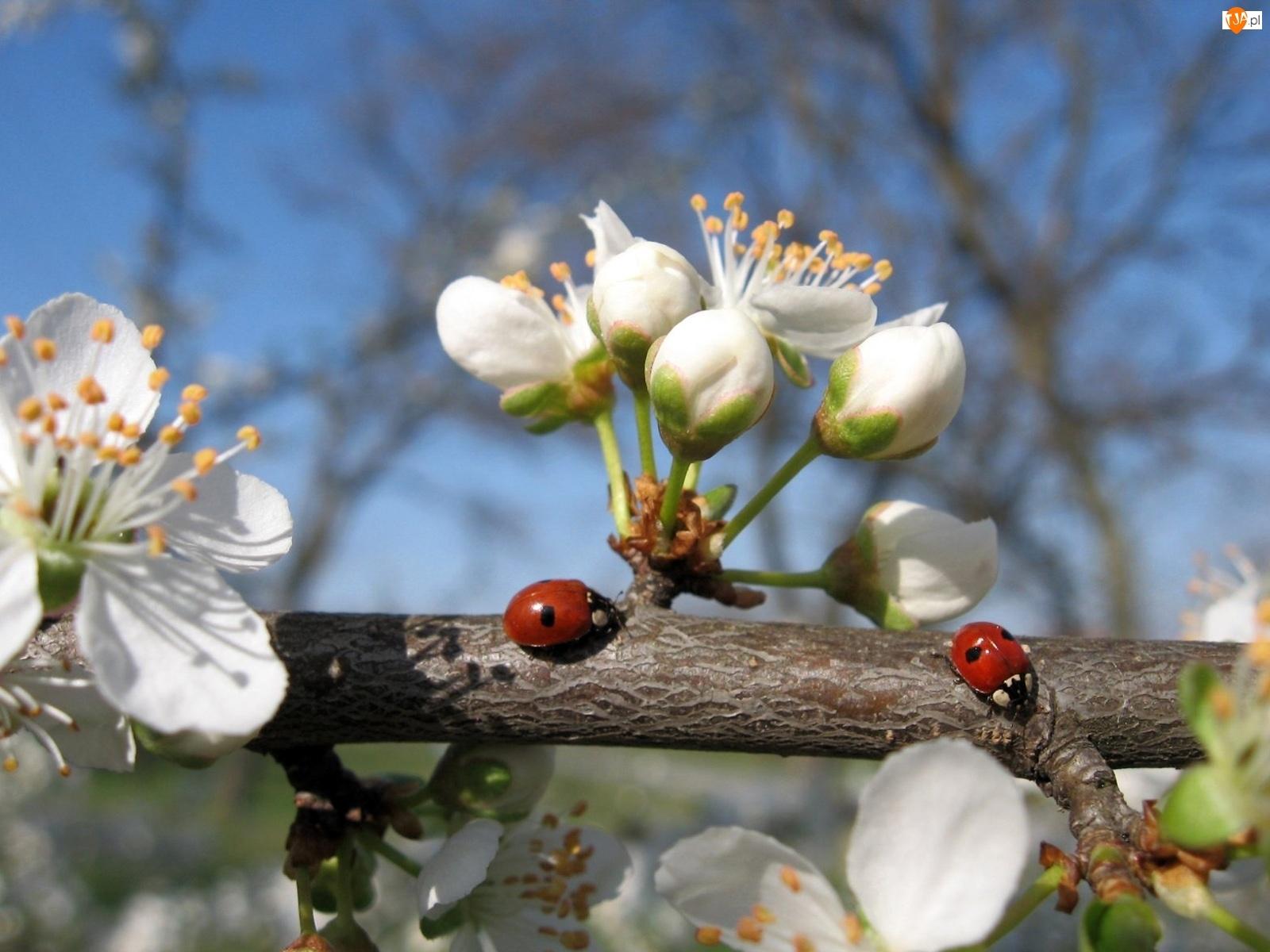 Biedronki, Gałązka, Kwiat