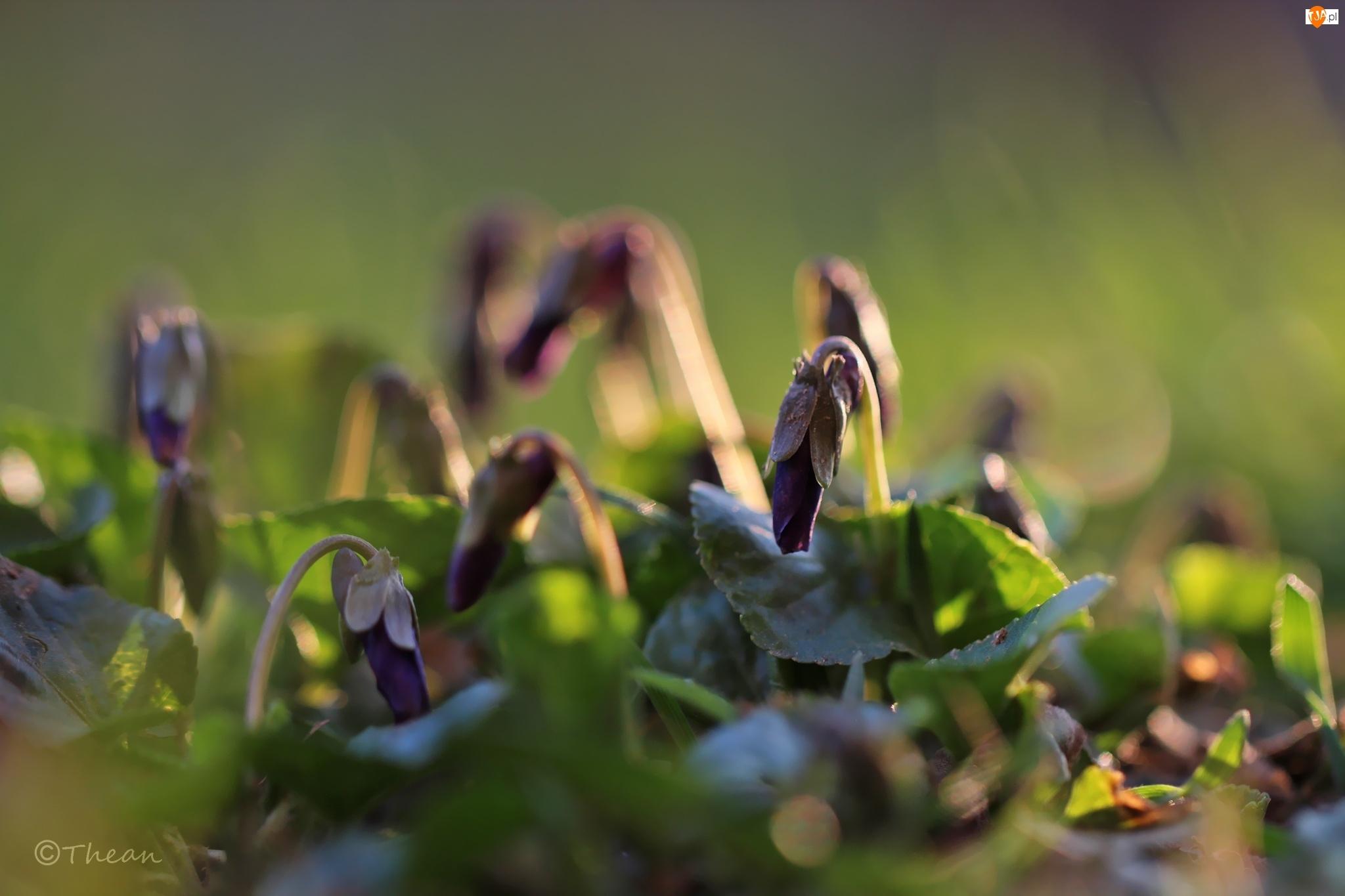 Wiosna, Fiołki Wonne, Kwiaty