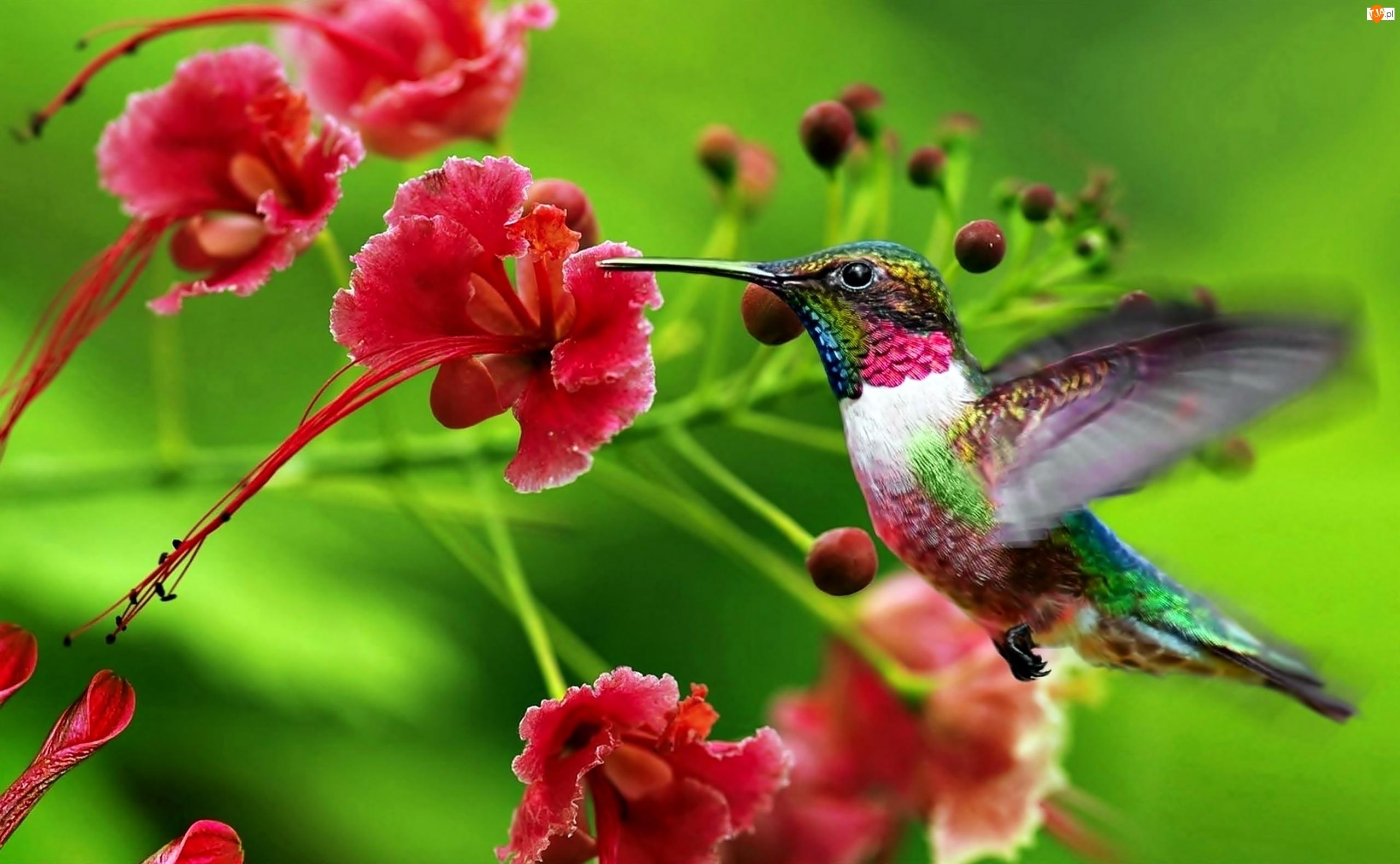 Barwny, Kwiaty, Koliber, Czerwone