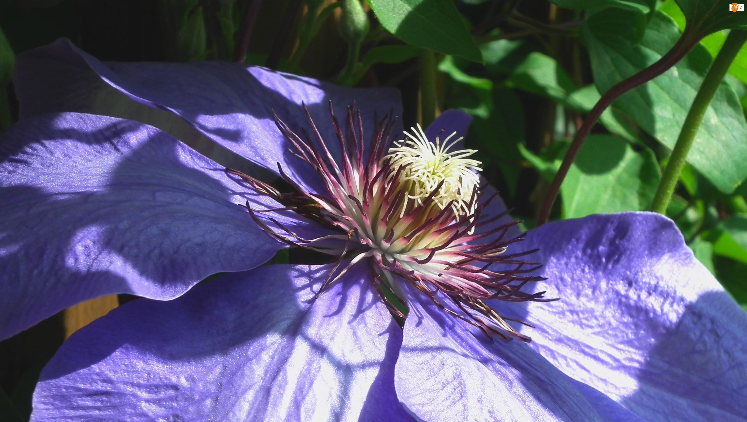 Clematis, Przyroda, Kwiat