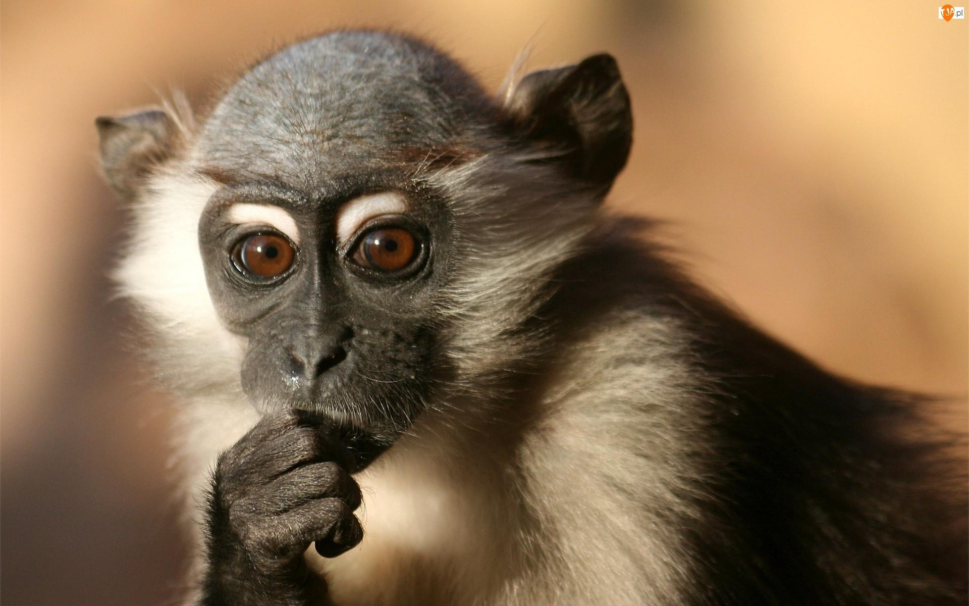 Mała, Małpa