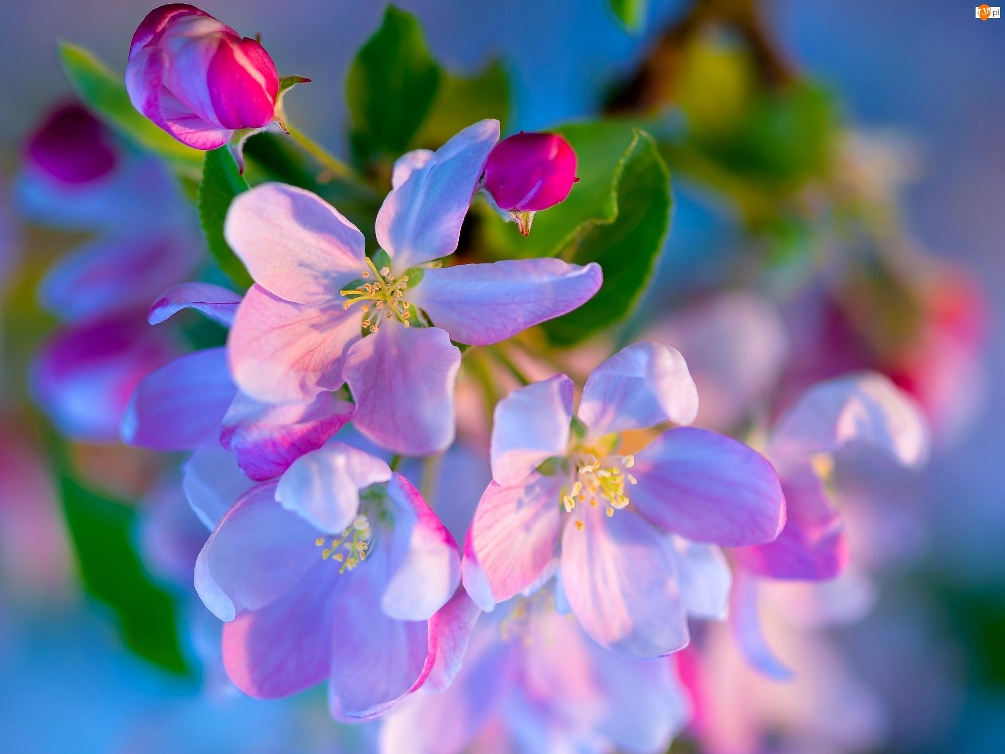Różowe, Owocowe, Kwiaty, Drzewo