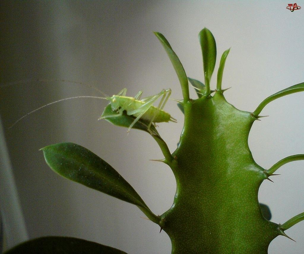 Konik polny, Kaktus