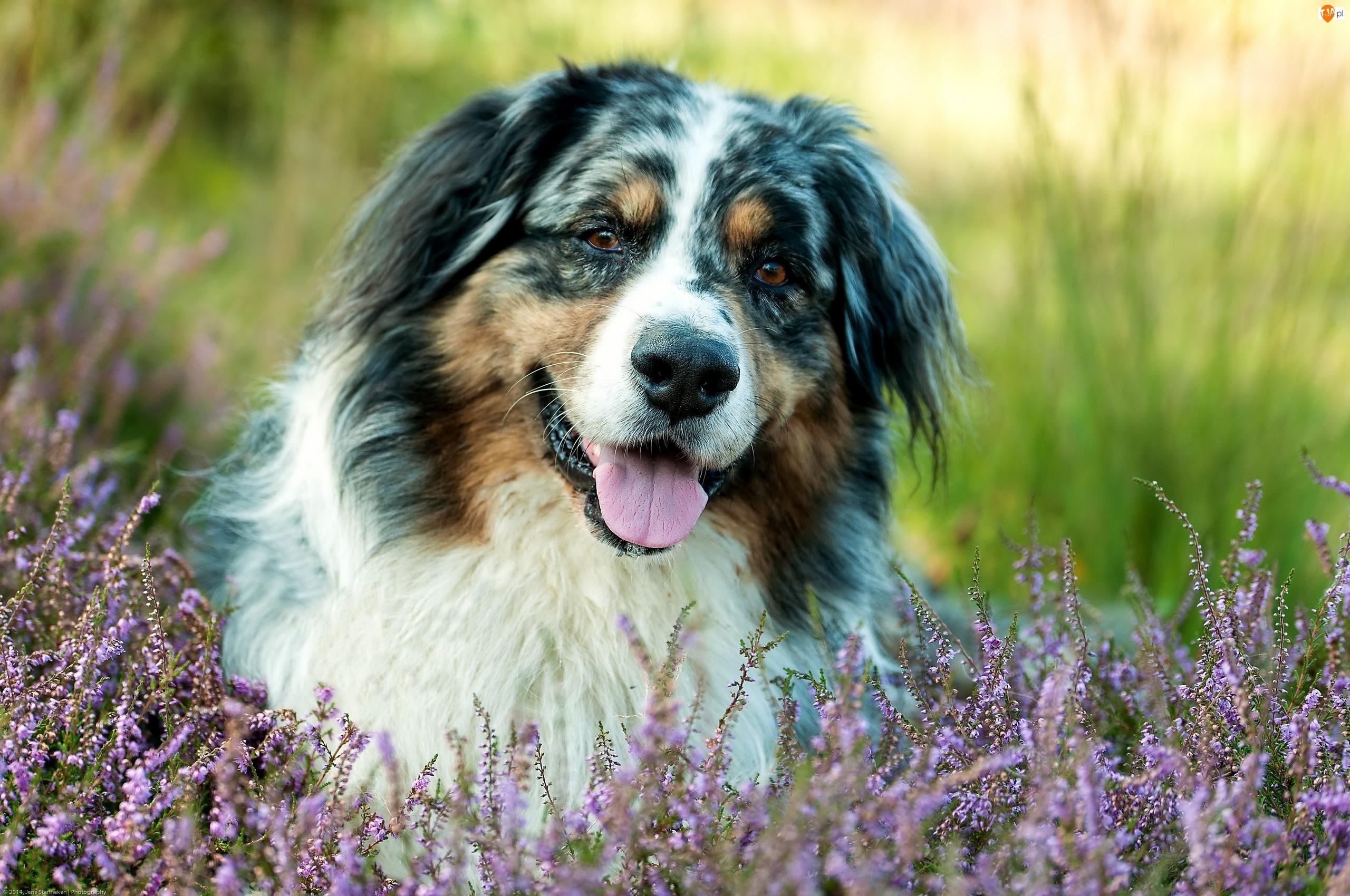 Wrzosu, Pies, Owczarek australijski, Pasterski, Kwiaty
