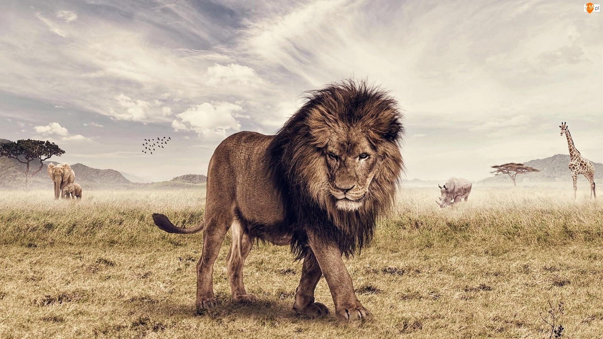 Słonie, Lew, Sawanna, Rysunek, Nosorożec, Zwierzęta, Żyrafa