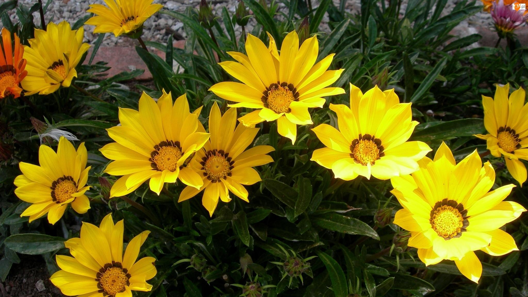 Gazanie, Kwiaty, Żółte