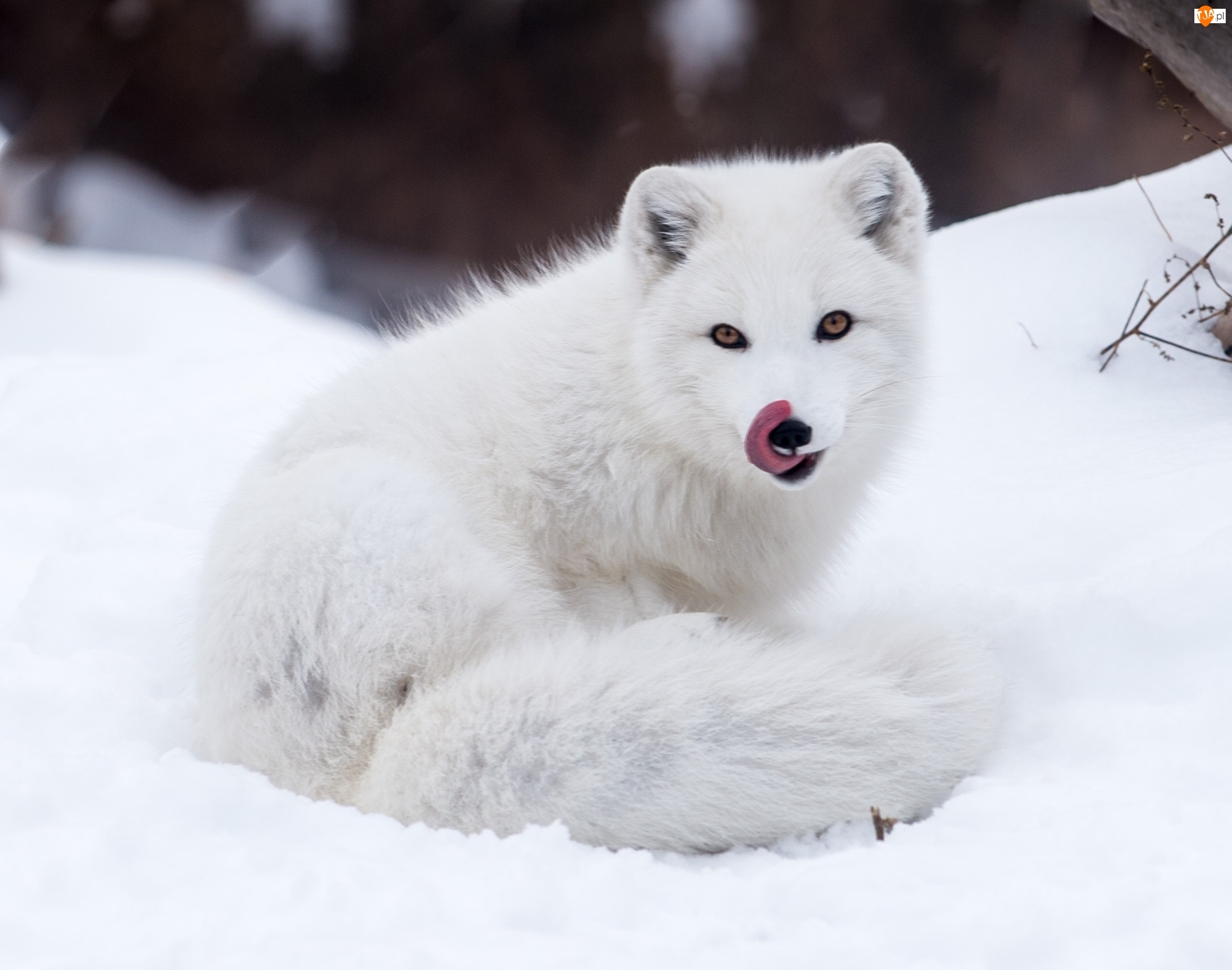 lis polarny