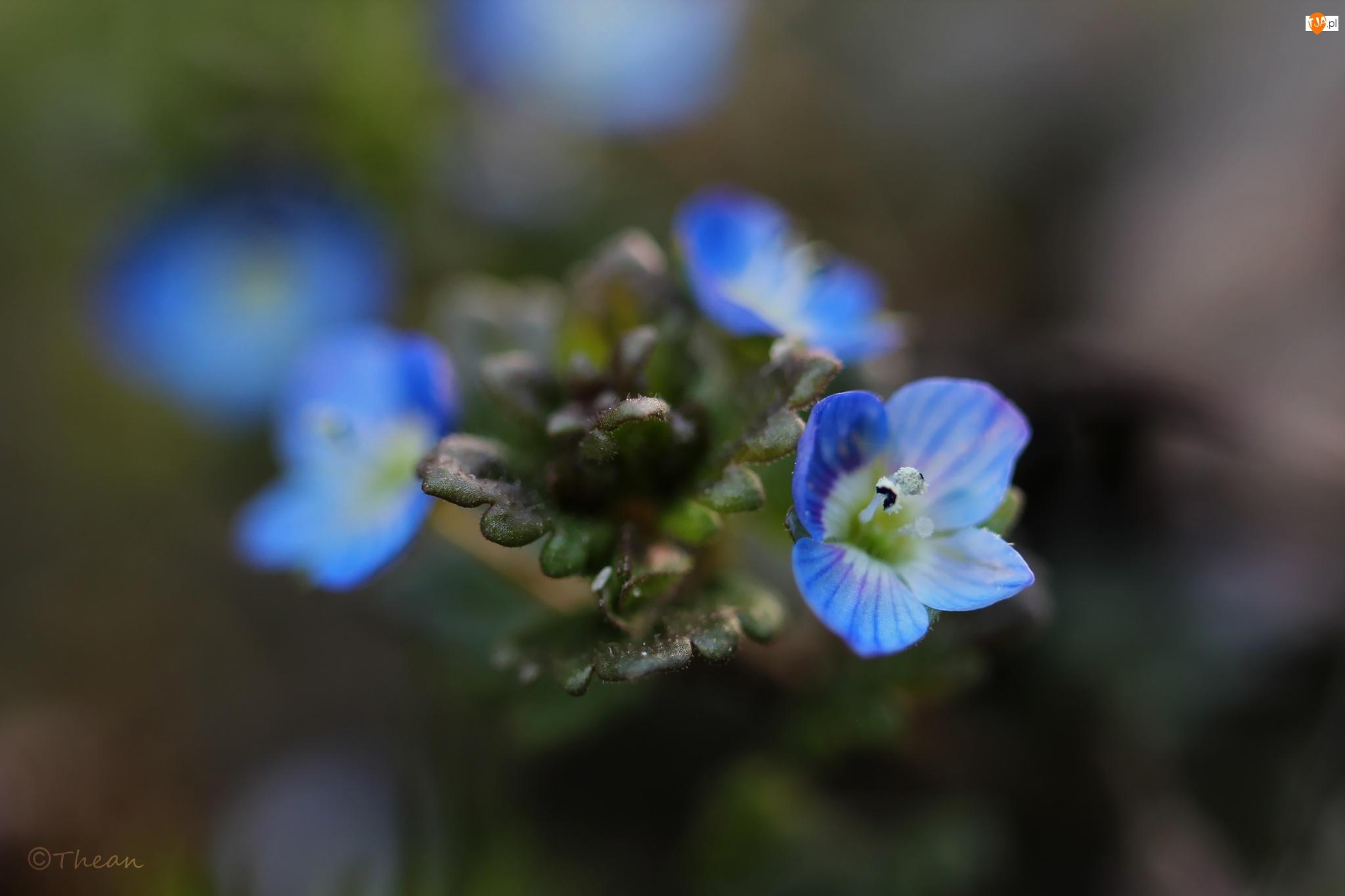 Kwiaty, Przetacznik, Niebieskie