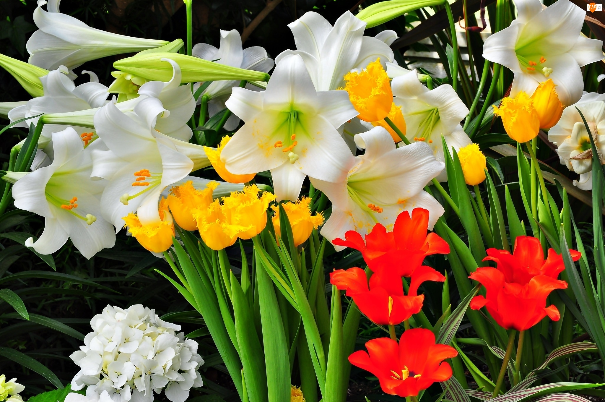 Ogród, Hortensja, Lilie, Tulipany