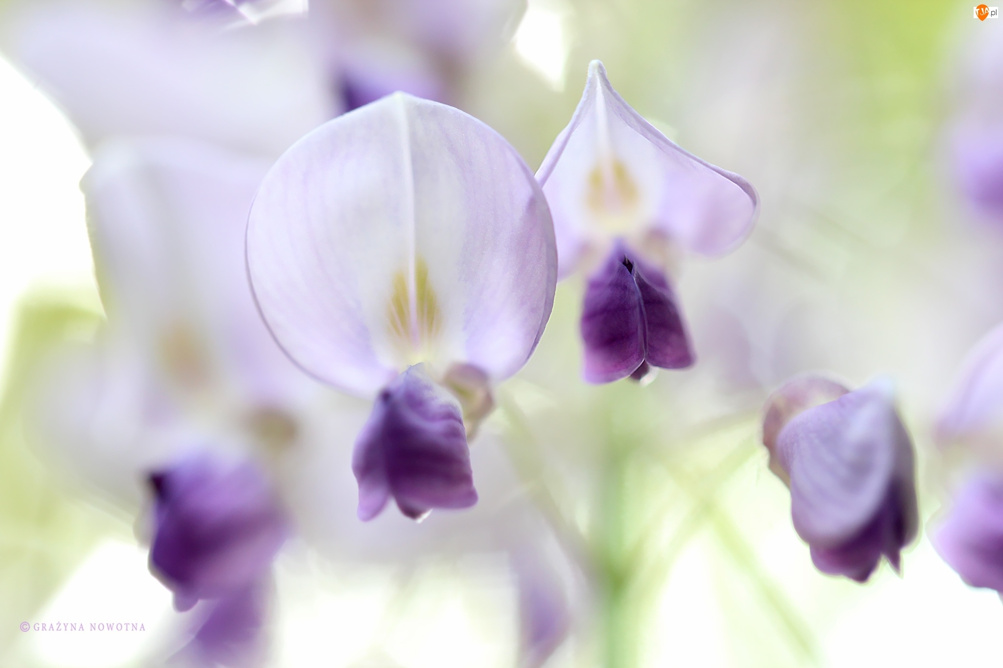 Glicynia, Kwiaty, Biało, Fioletowe