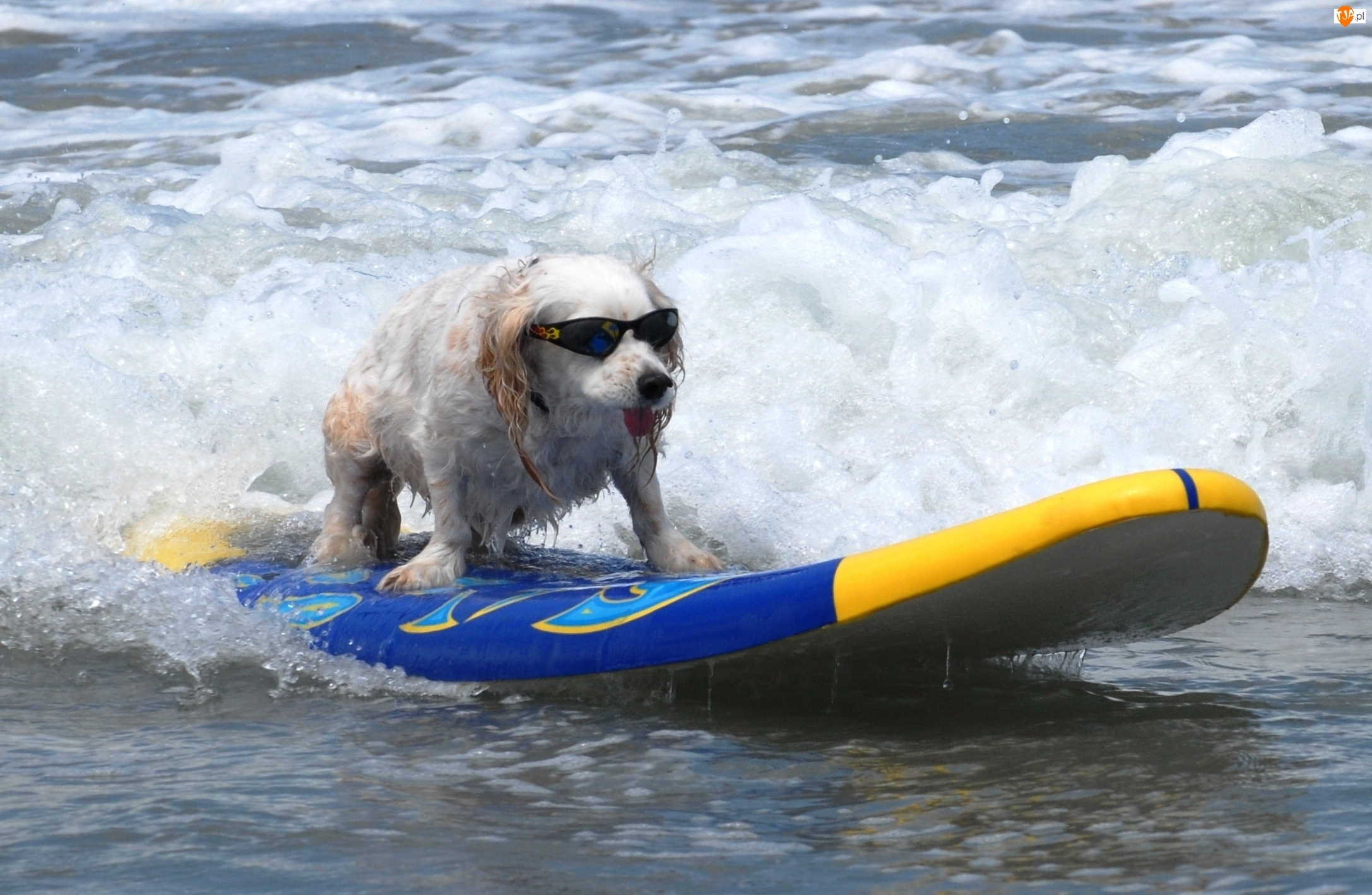 Piesek, Surfing, Okulary, Morze