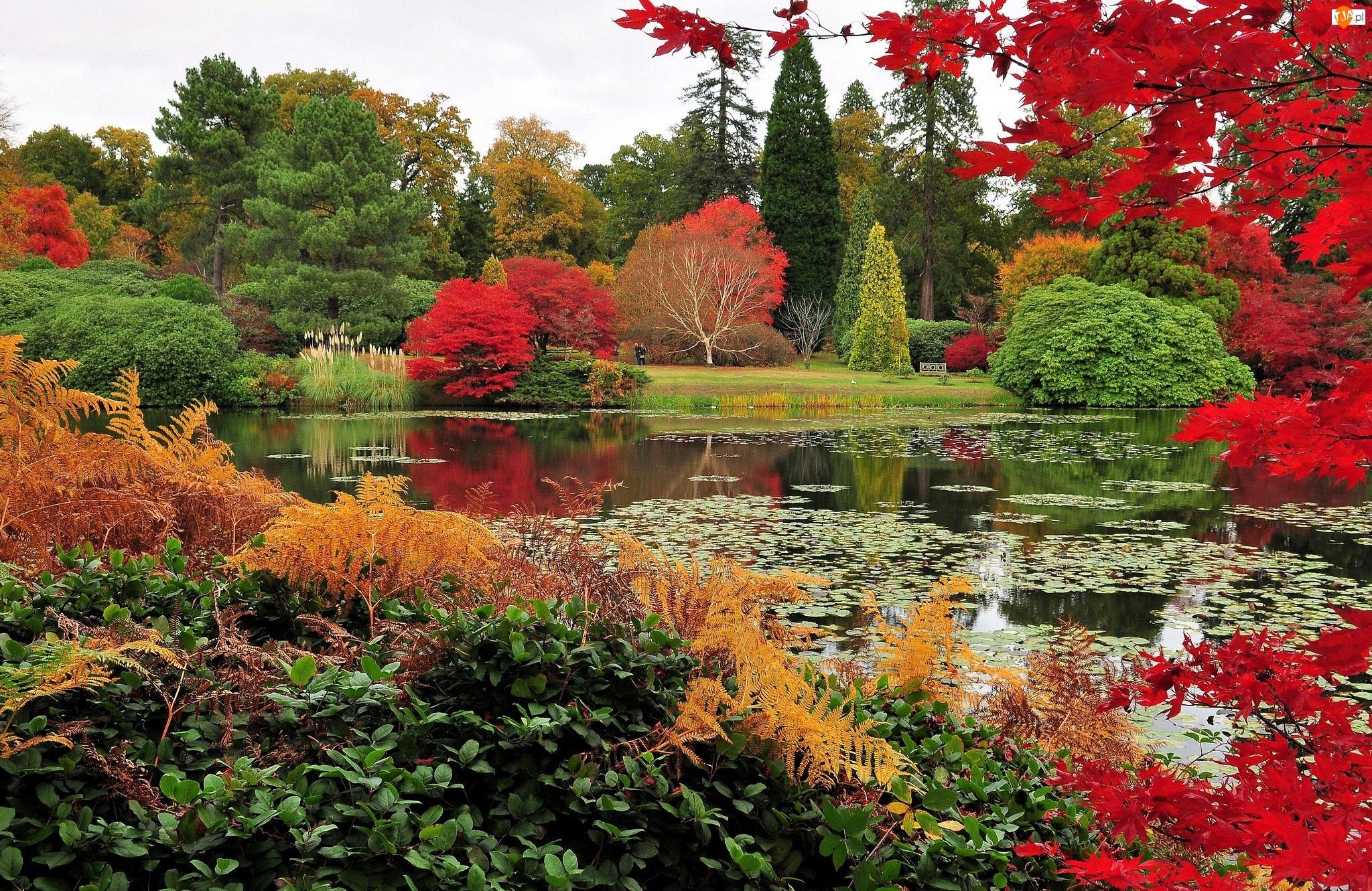 Paprocie, Drzewa, Staw, Park, Jesień, Kolorowe, Krzewy