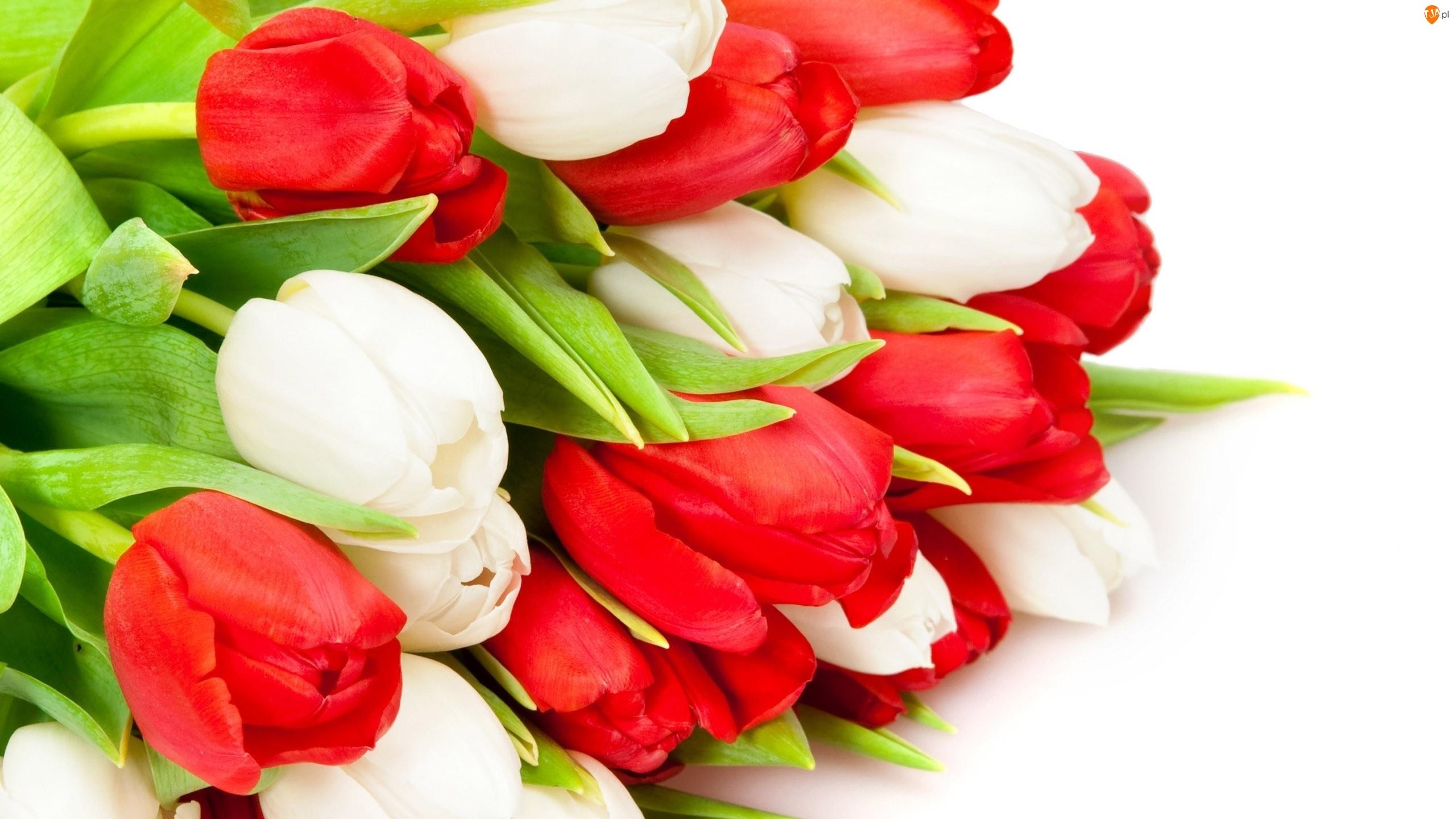 Tulipany, Białe, Czerwone