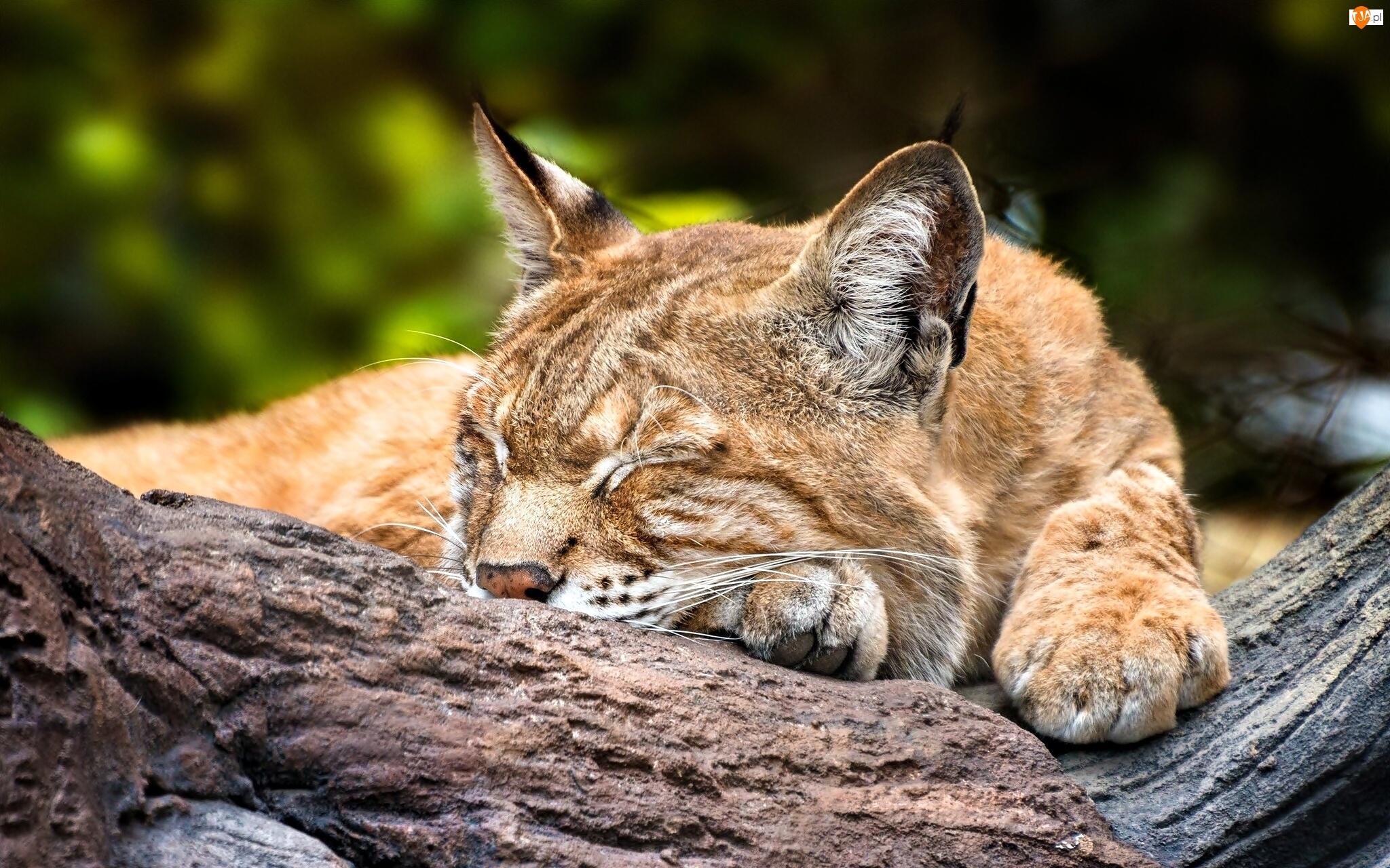 Śpiący, Ryś