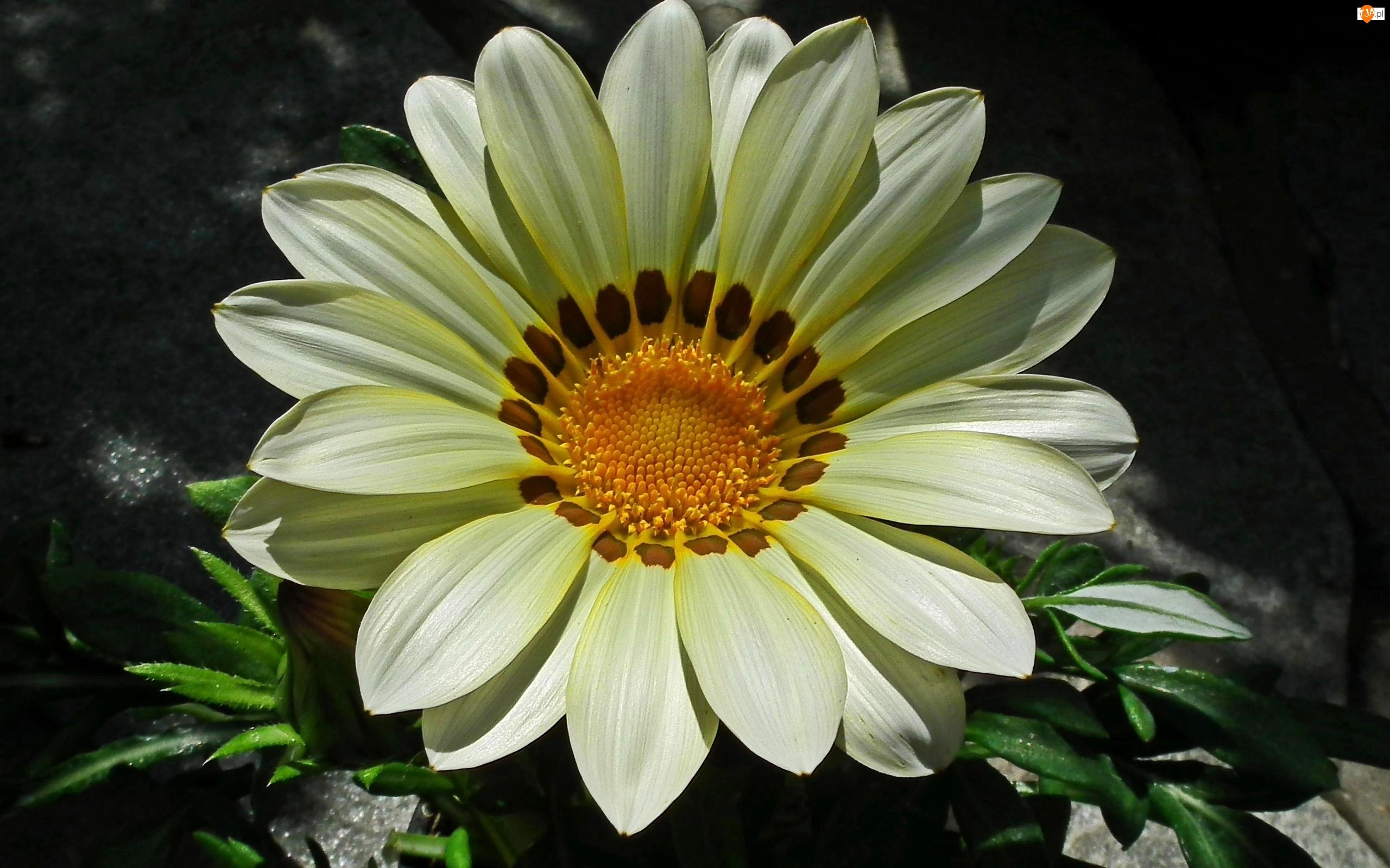 Kwiat, Gazania