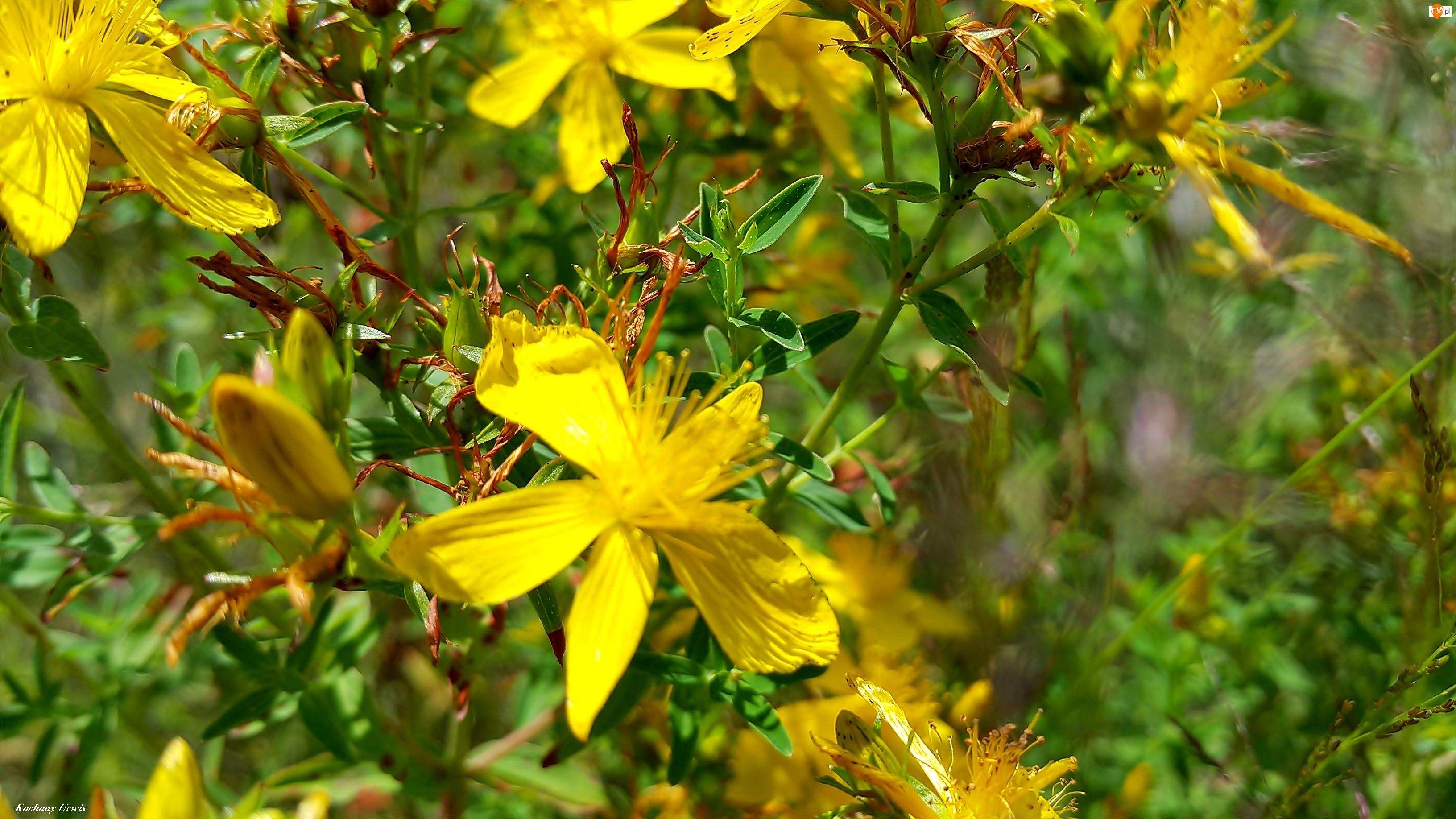Żółte, Dziurawiec, Polne, Kwiaty