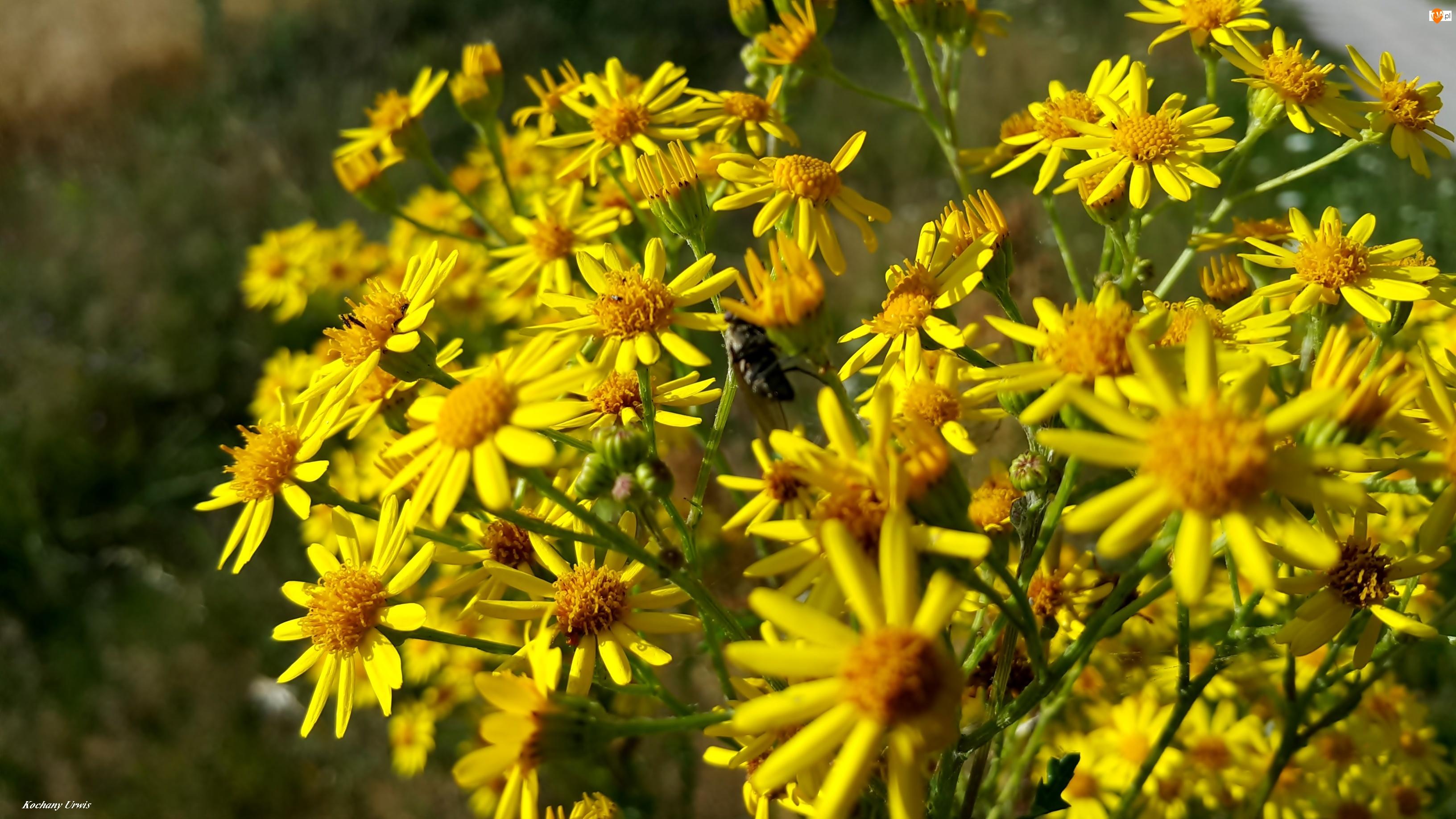 Żółte, Omieg, Polne, Kwiaty