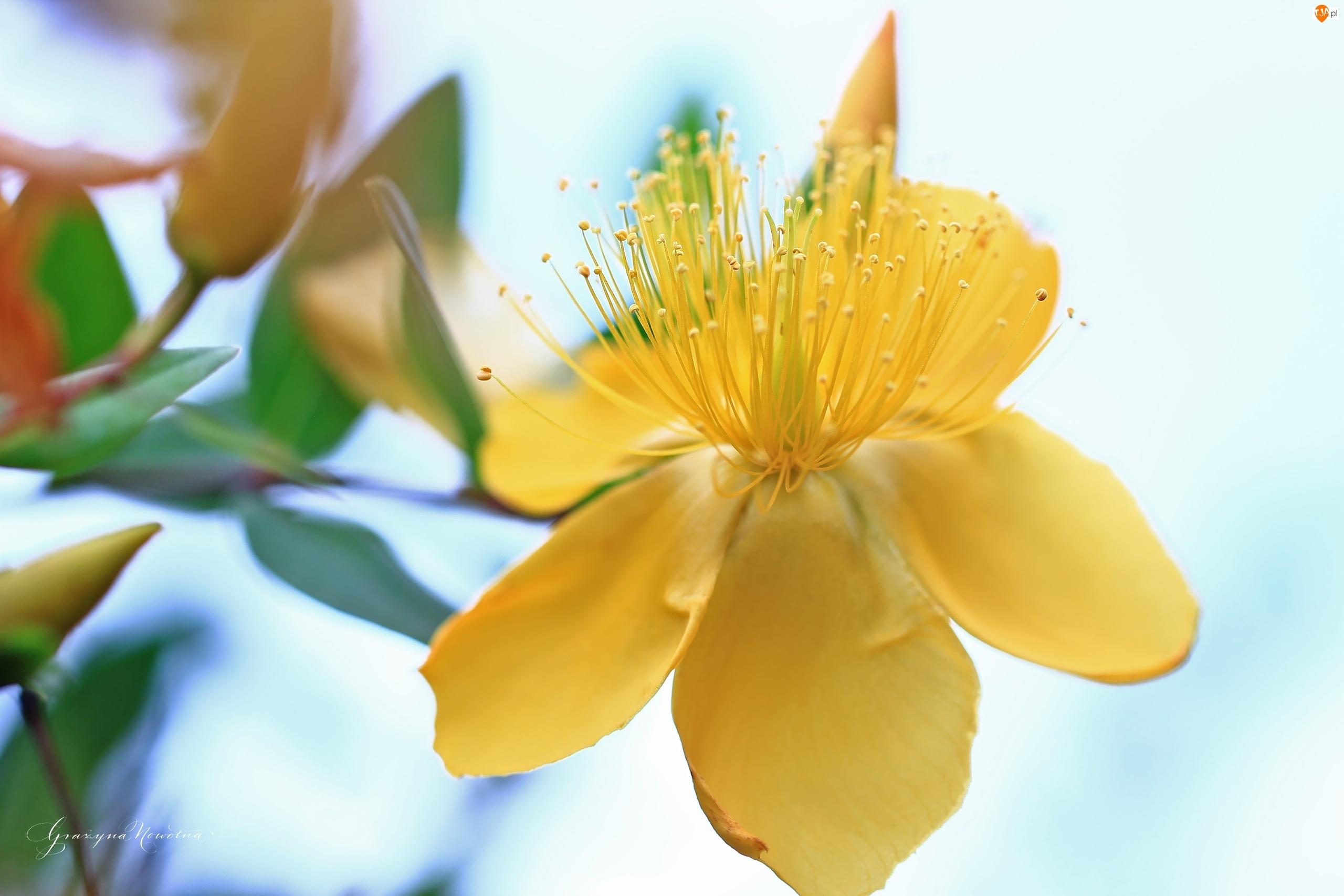 Dziurawiec Hidcote, Krzew, Żółte, Kwiaty