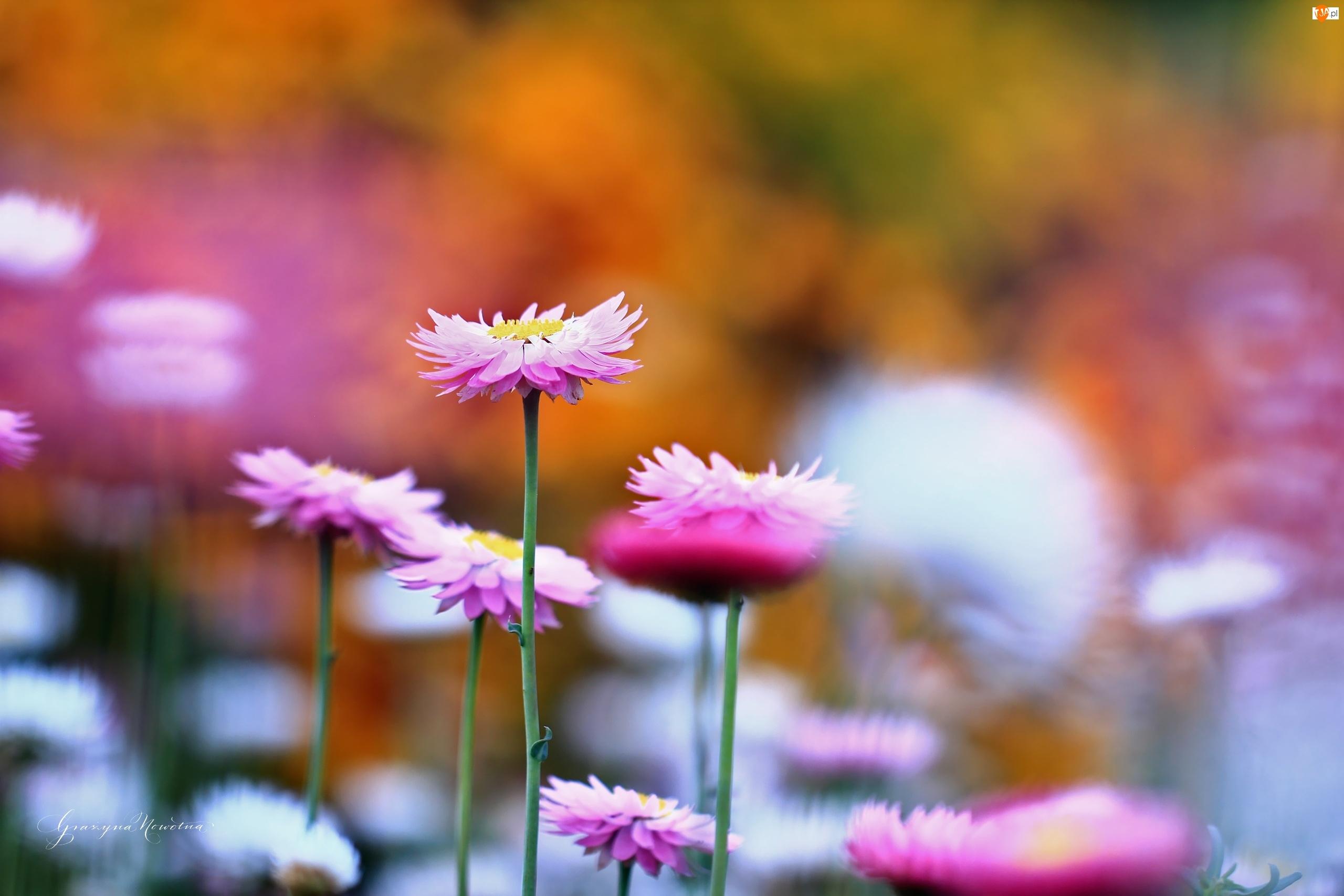 Kocanka Ogrodowa, Kwiaty, Nieśmiertelnik, Różowe