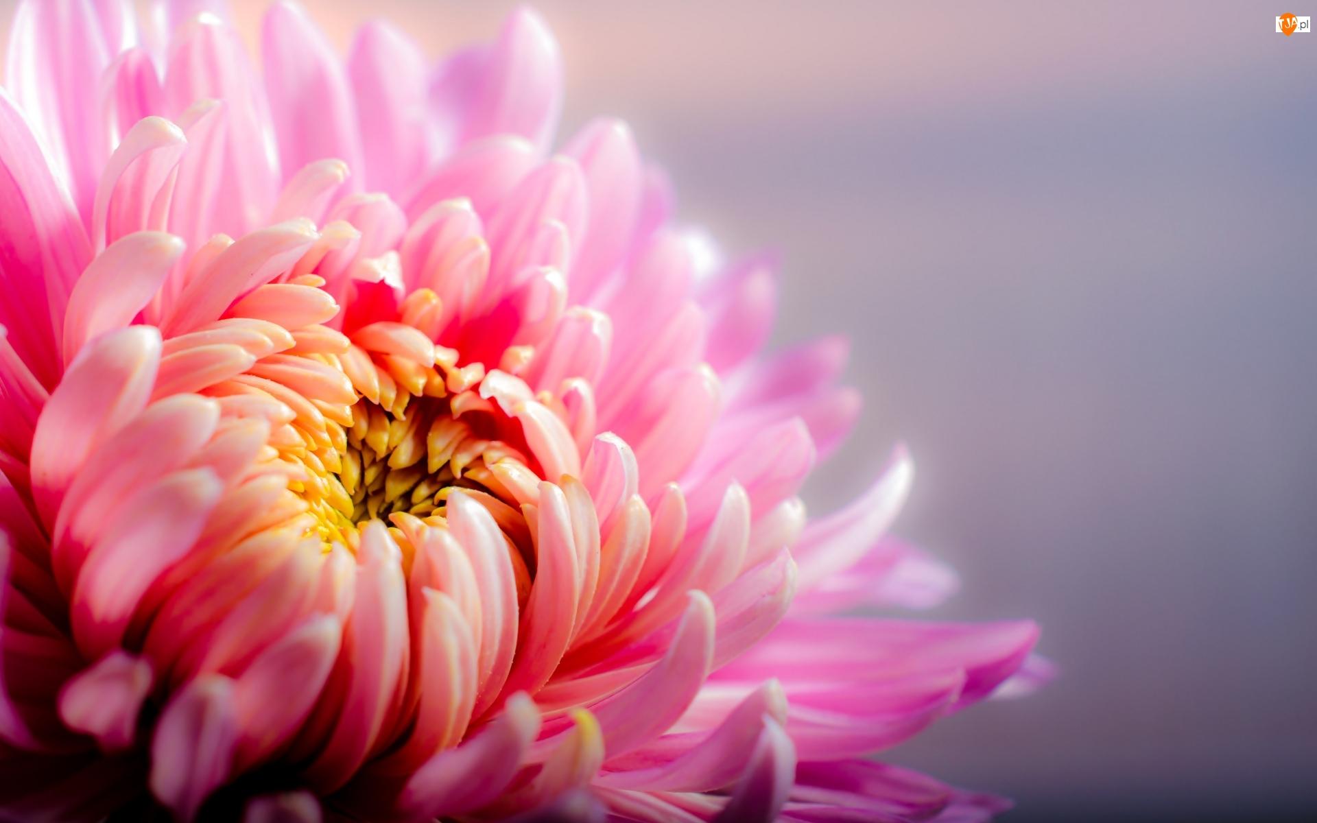 Kwiat, Makro, Różowej, Chryzantemy