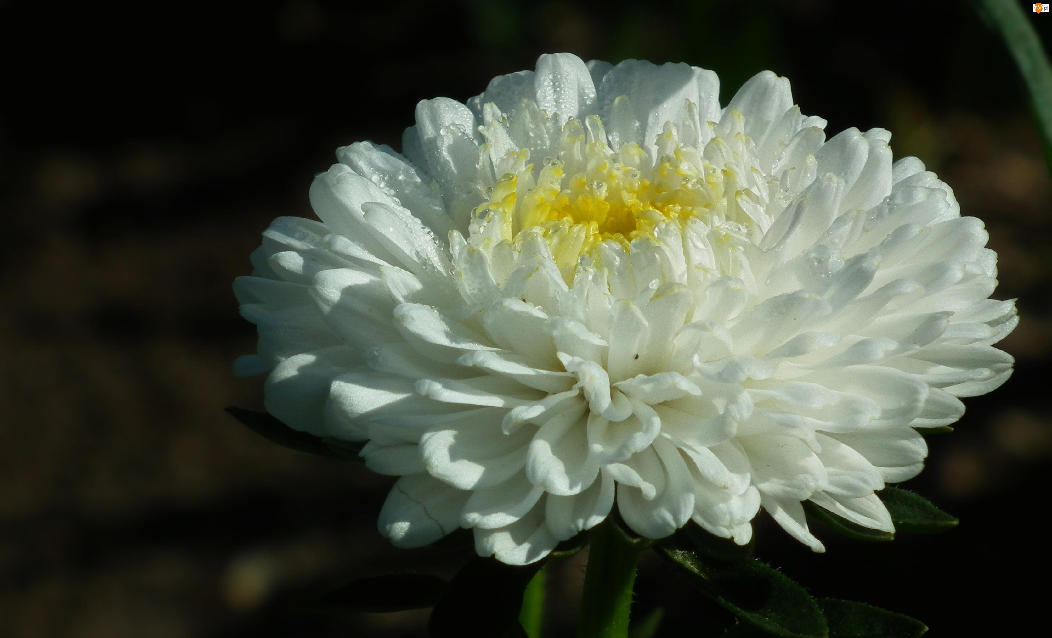 Przyroda, Biały, Kwiat, Aster