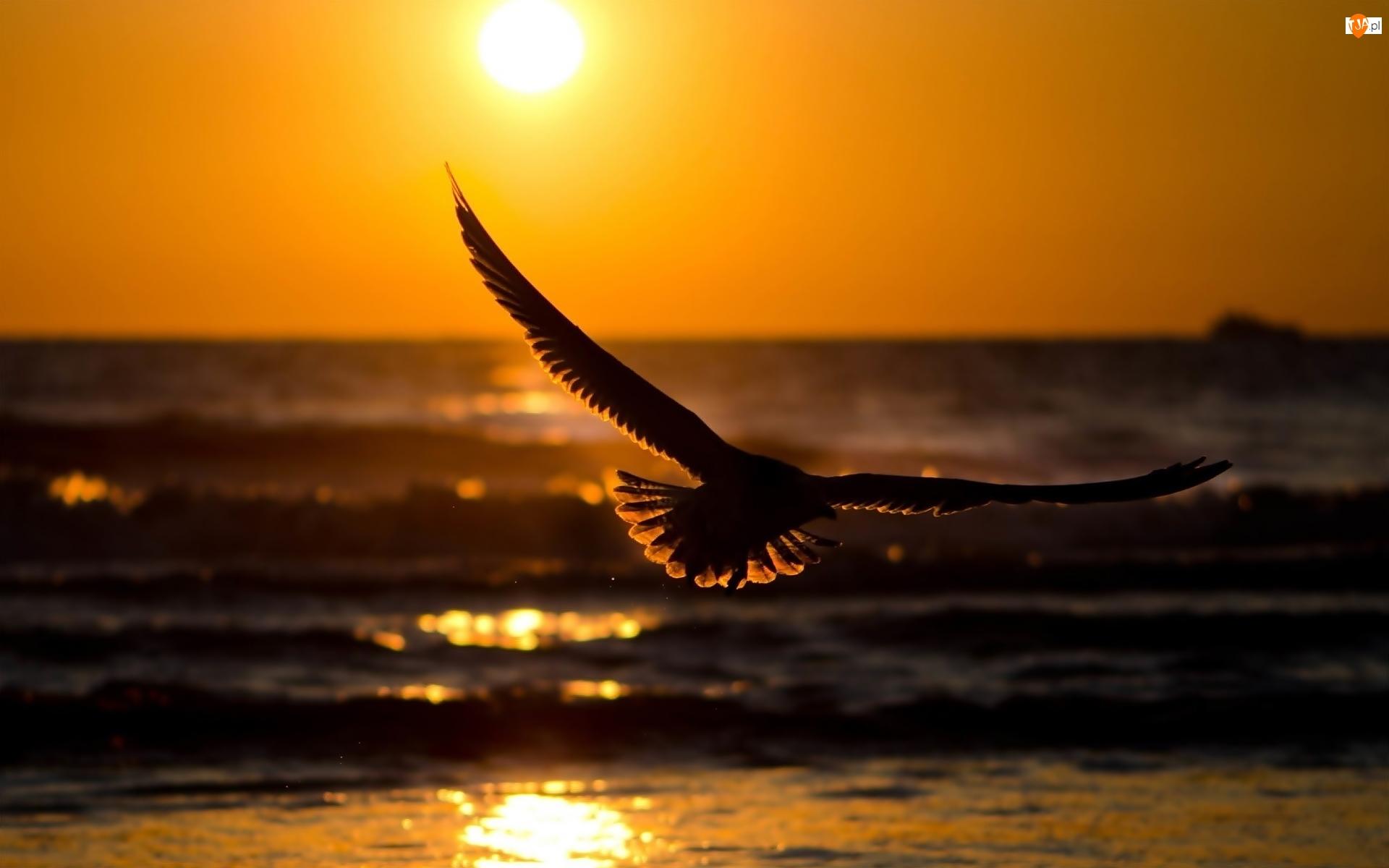 Zachód Słońca, Lecąca, Mewa
