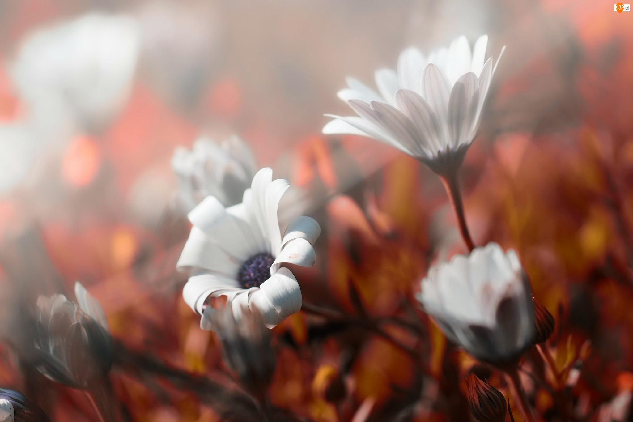 Tło, Kwiaty, Rozmyte