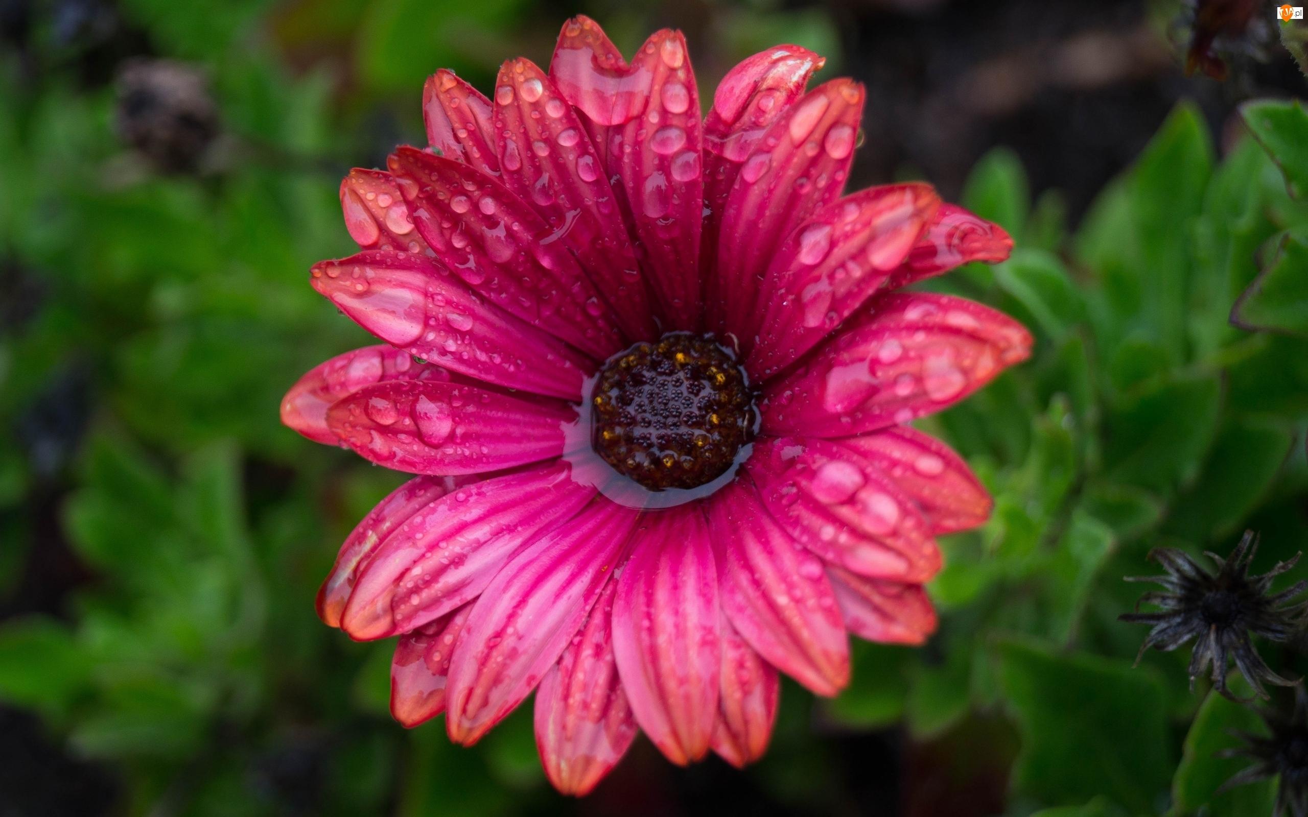 Kwiat, Arktotis