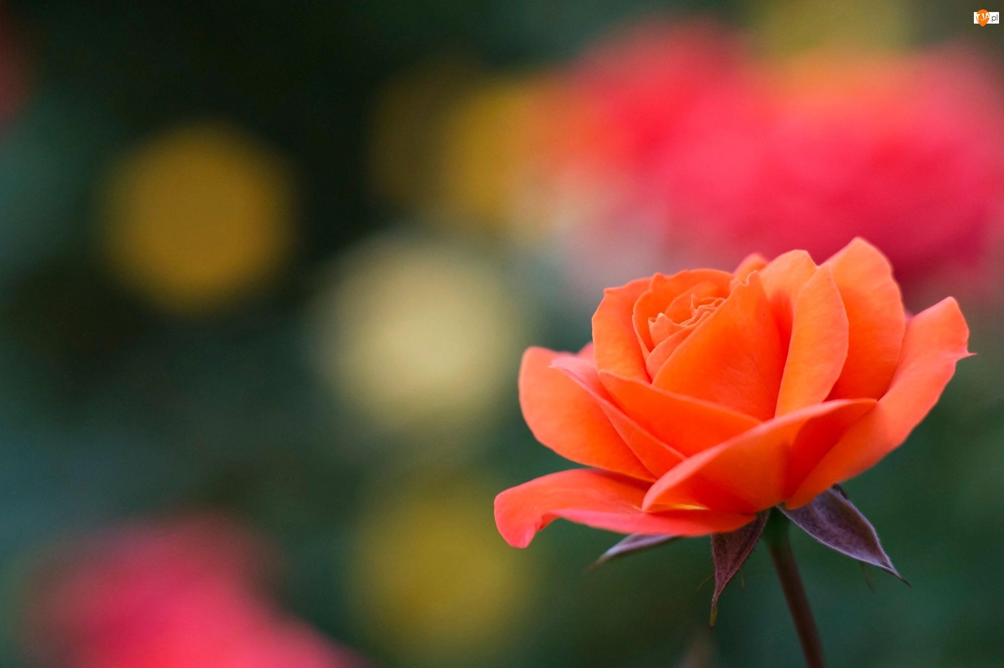 Pomarańczowa, Makro, Róża, Blask